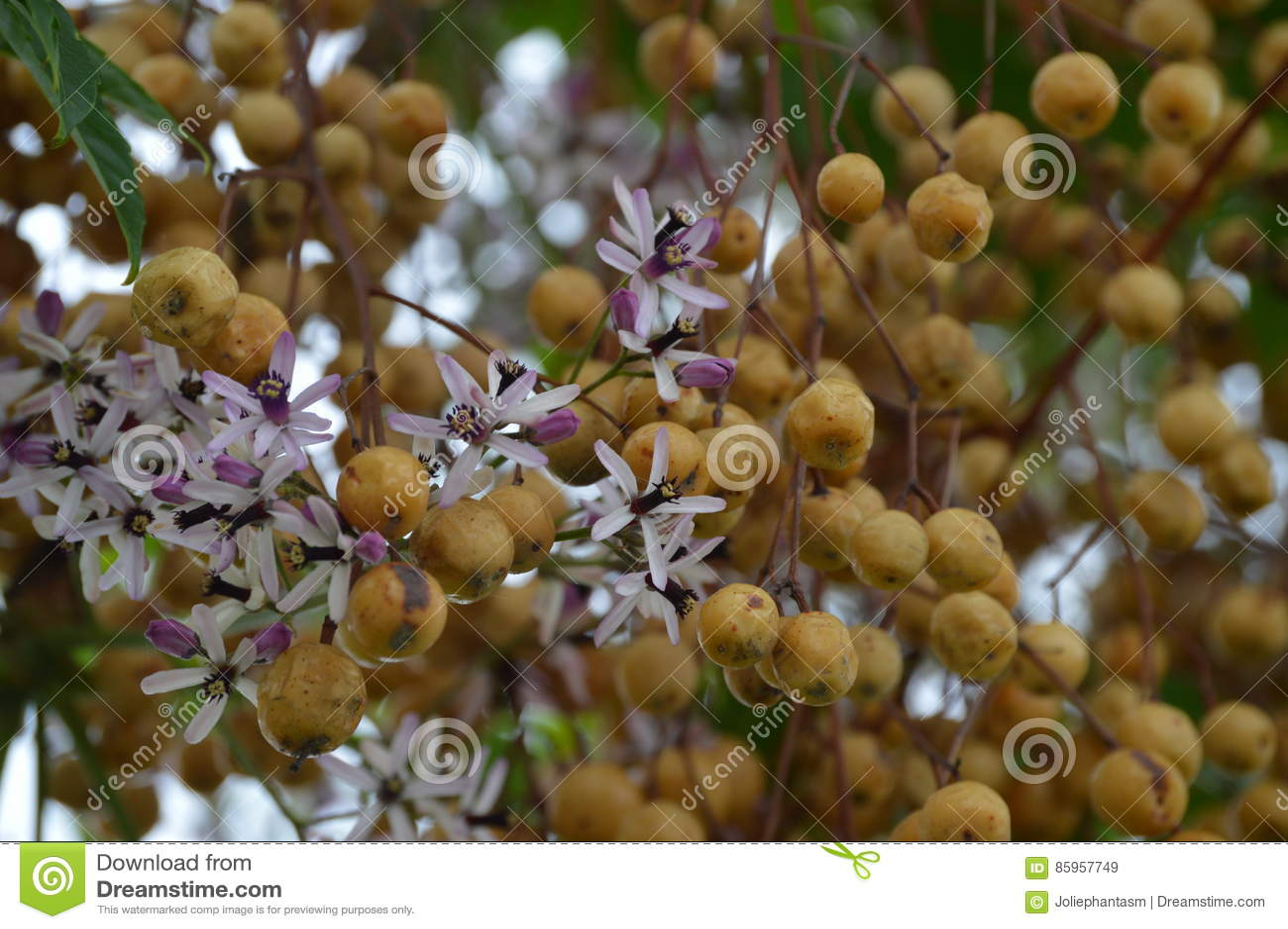 Λουλούδια και φρούτα Melia azedarach