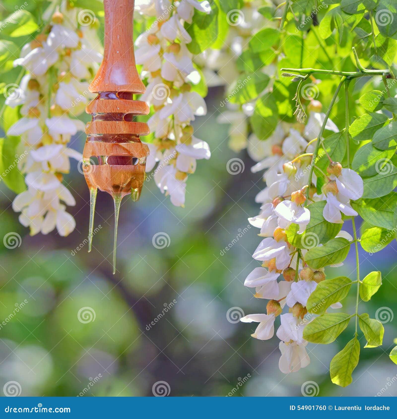 Λουλούδια σταλάγματος και ακακιών μελιού