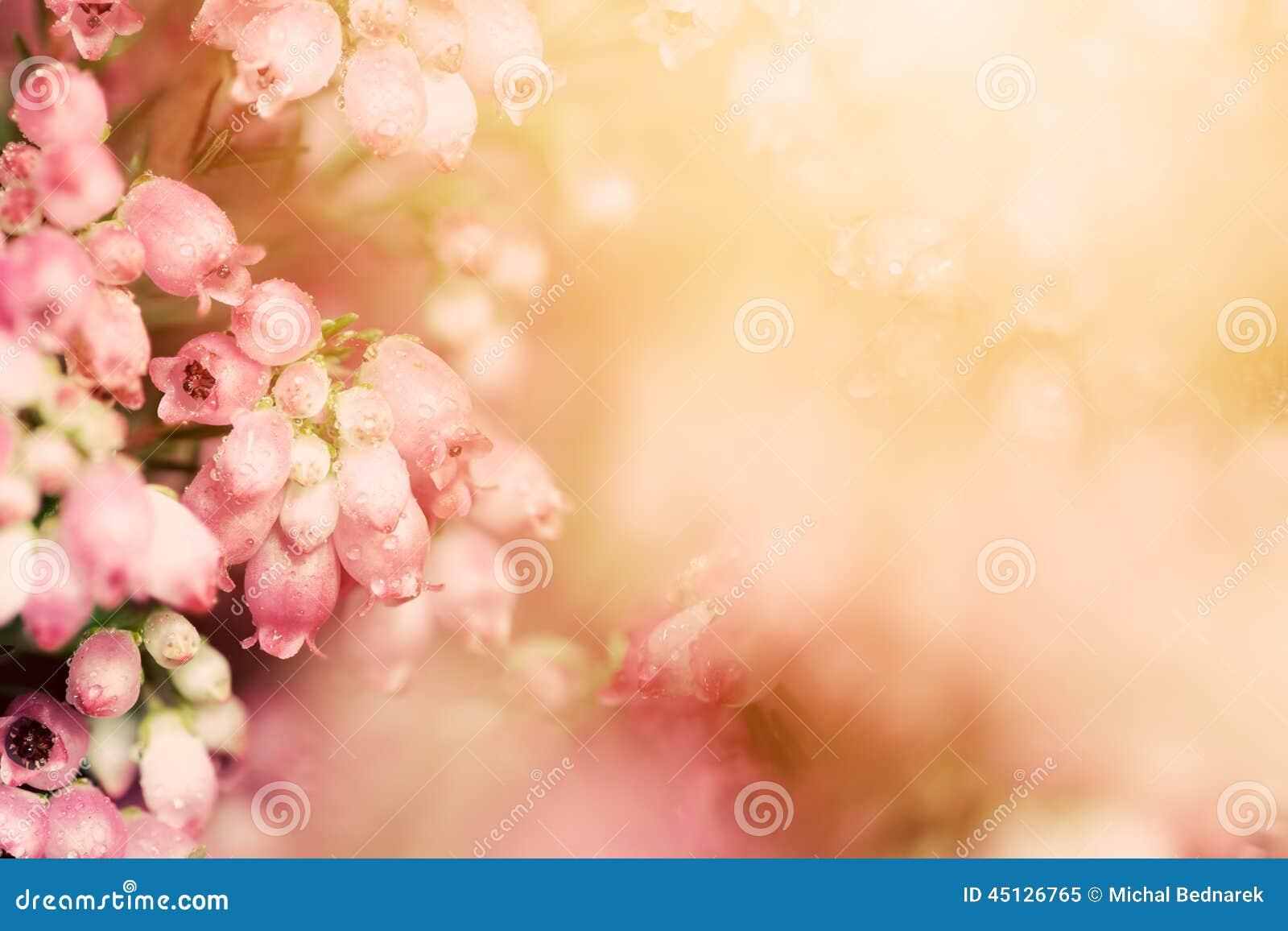 Λουλούδια της Heather σε μια πτώση, λιβάδι φθινοπώρου στο λάμποντας settng ήλιο