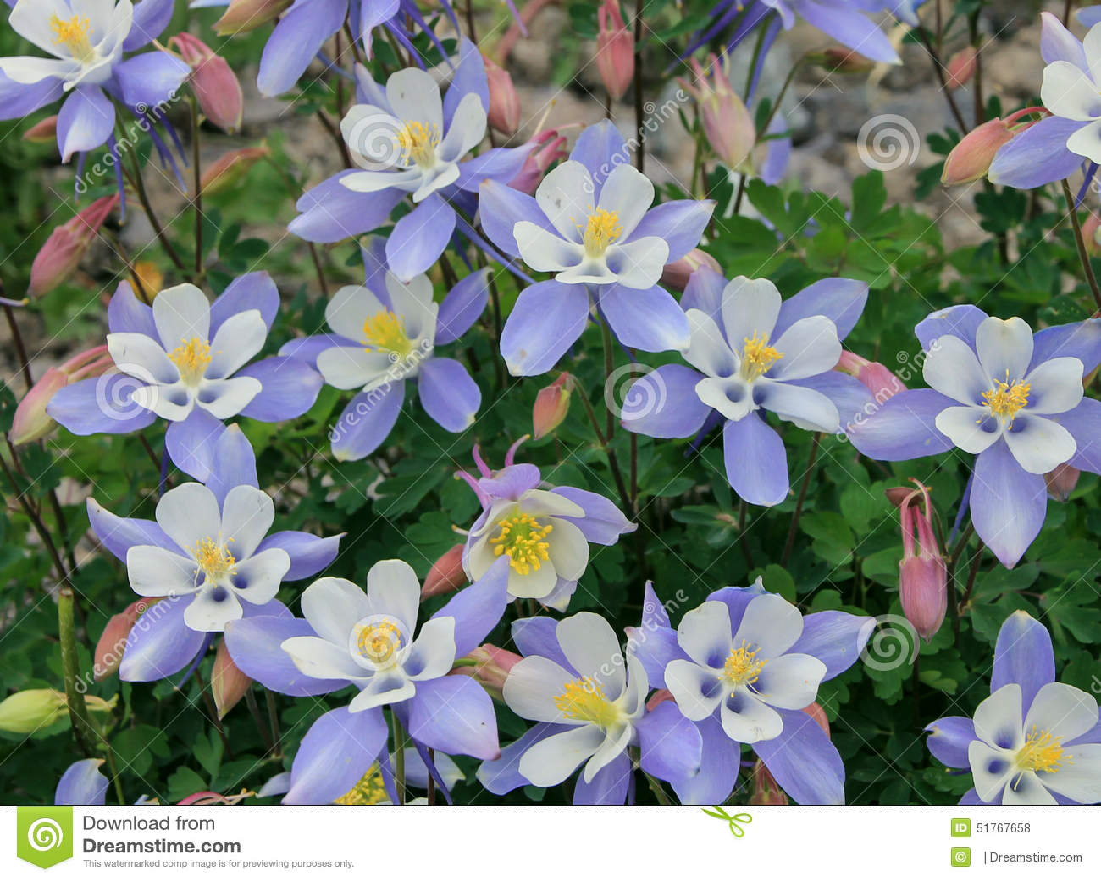 Λουλούδια του Κολοράντο Columbine