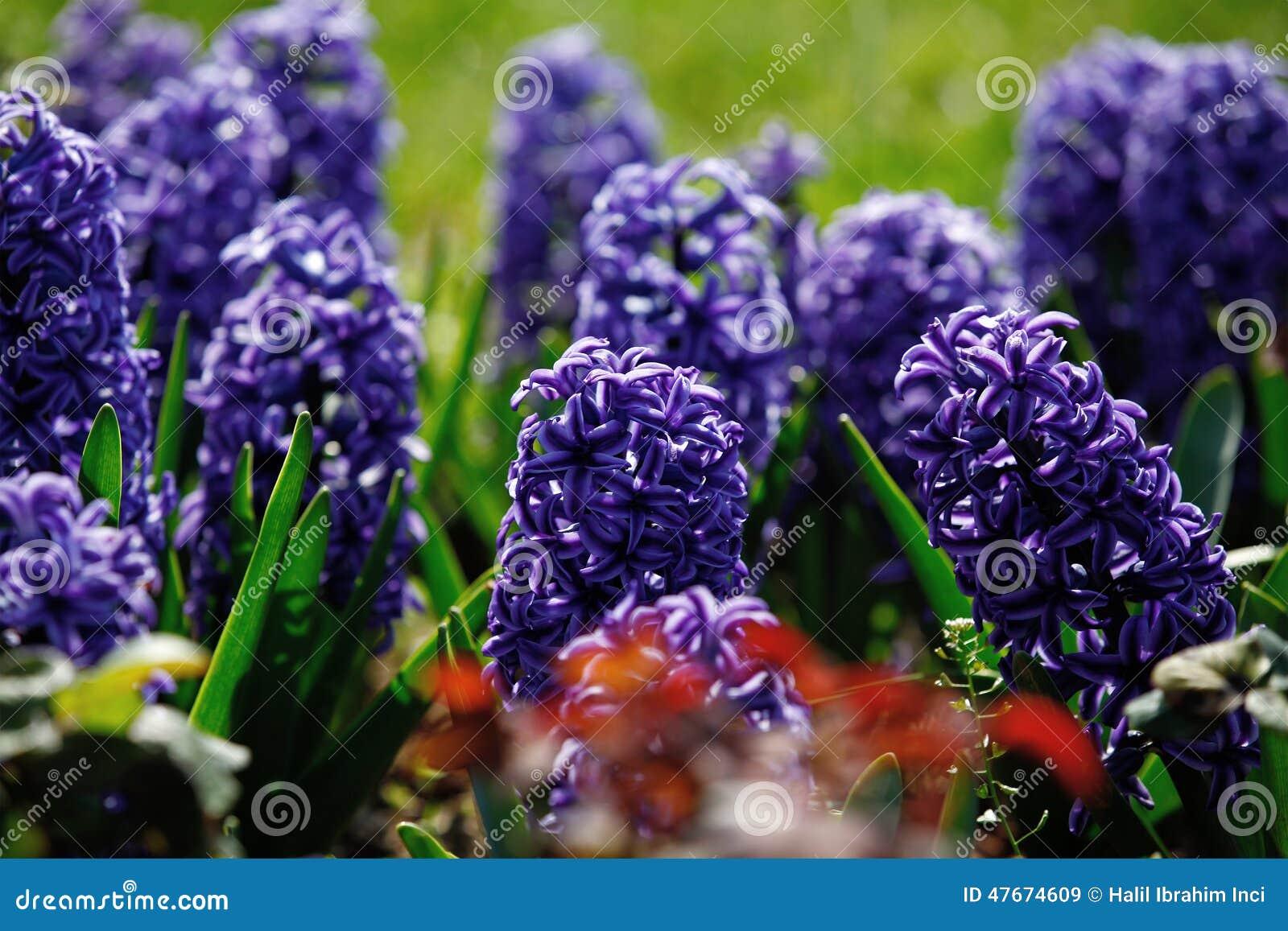 Λουλούδια υάκινθων