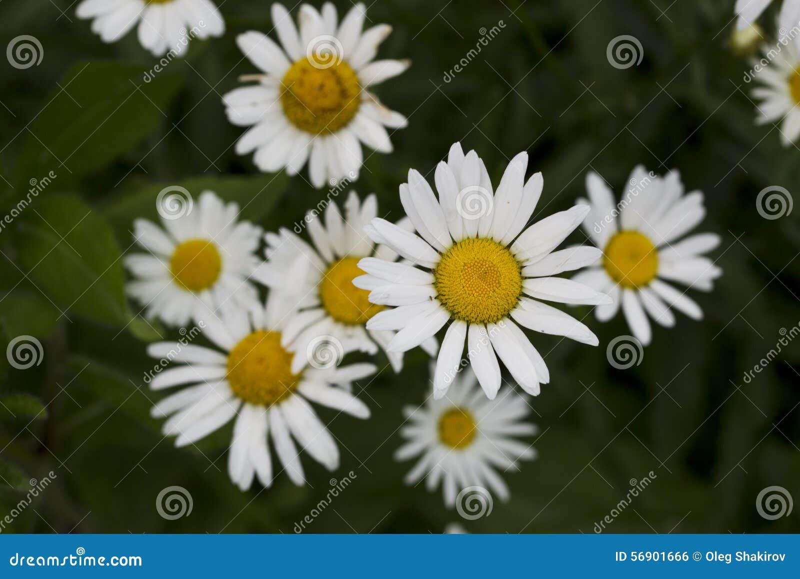 Λουλούδια Chamomile