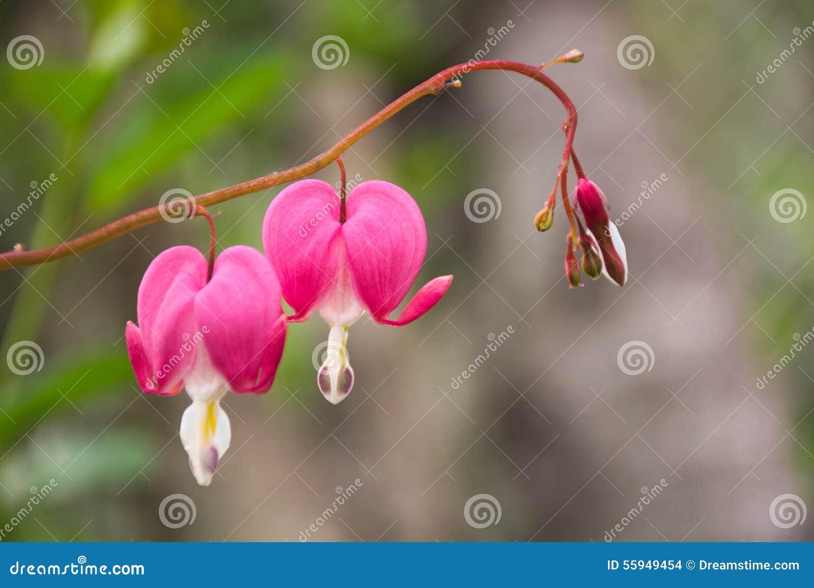 Λουλούδια Heartbreak στον κήπο