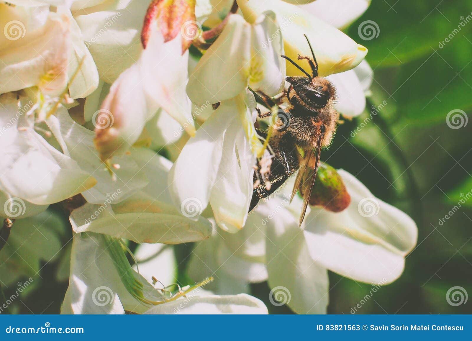 Λουλούδι ακακιών με τη μέλισσα