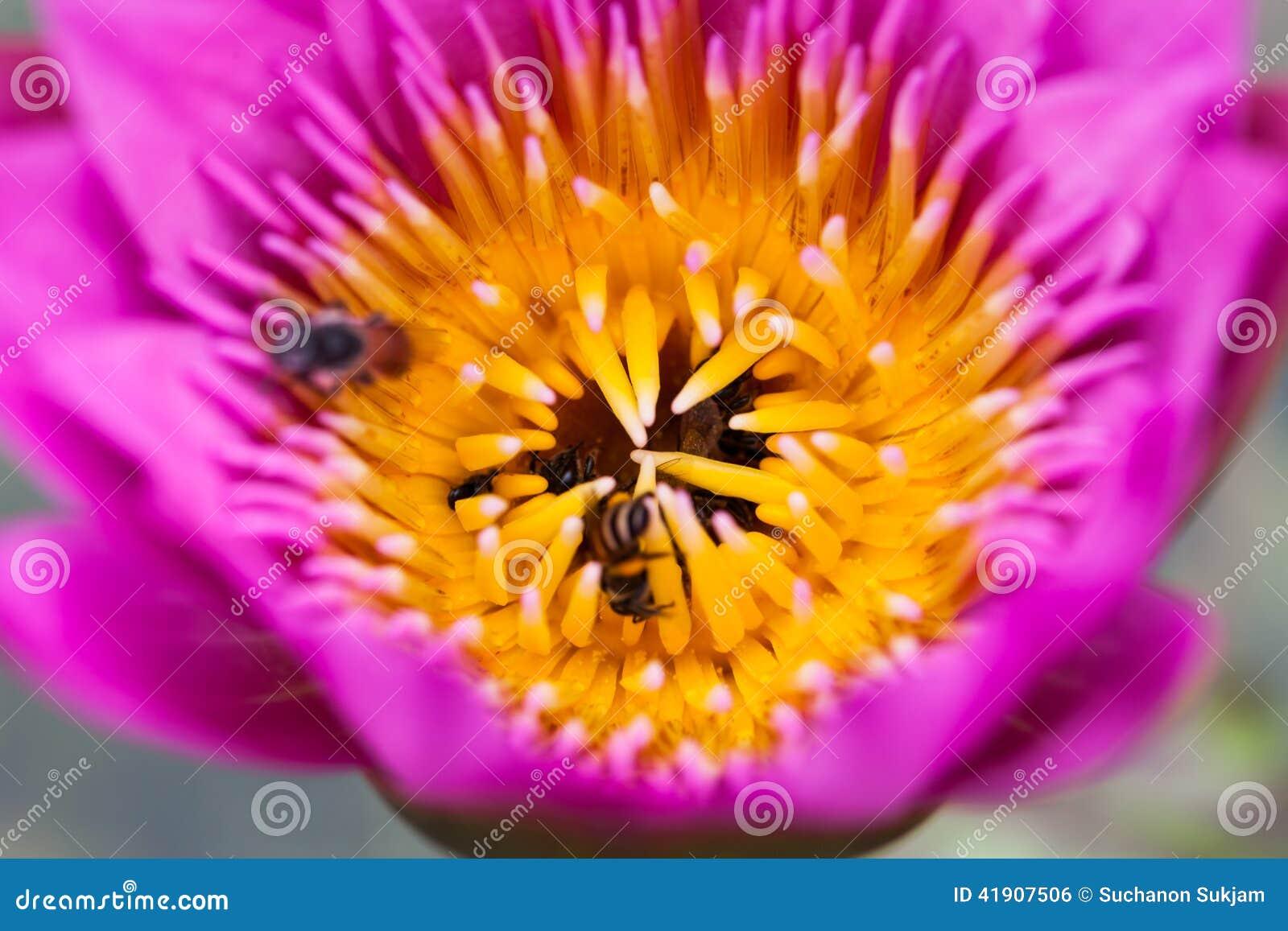 Λουλούδι και μέλισσα Lotus