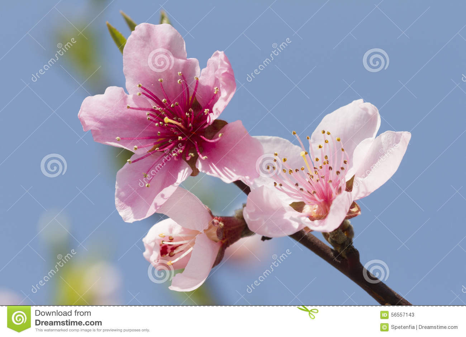 Download Λουλούδι ροδάκινων στο δέντρο Στοκ Εικόνα - εικόνα από bloodsuckers, οίστρο: 56557143