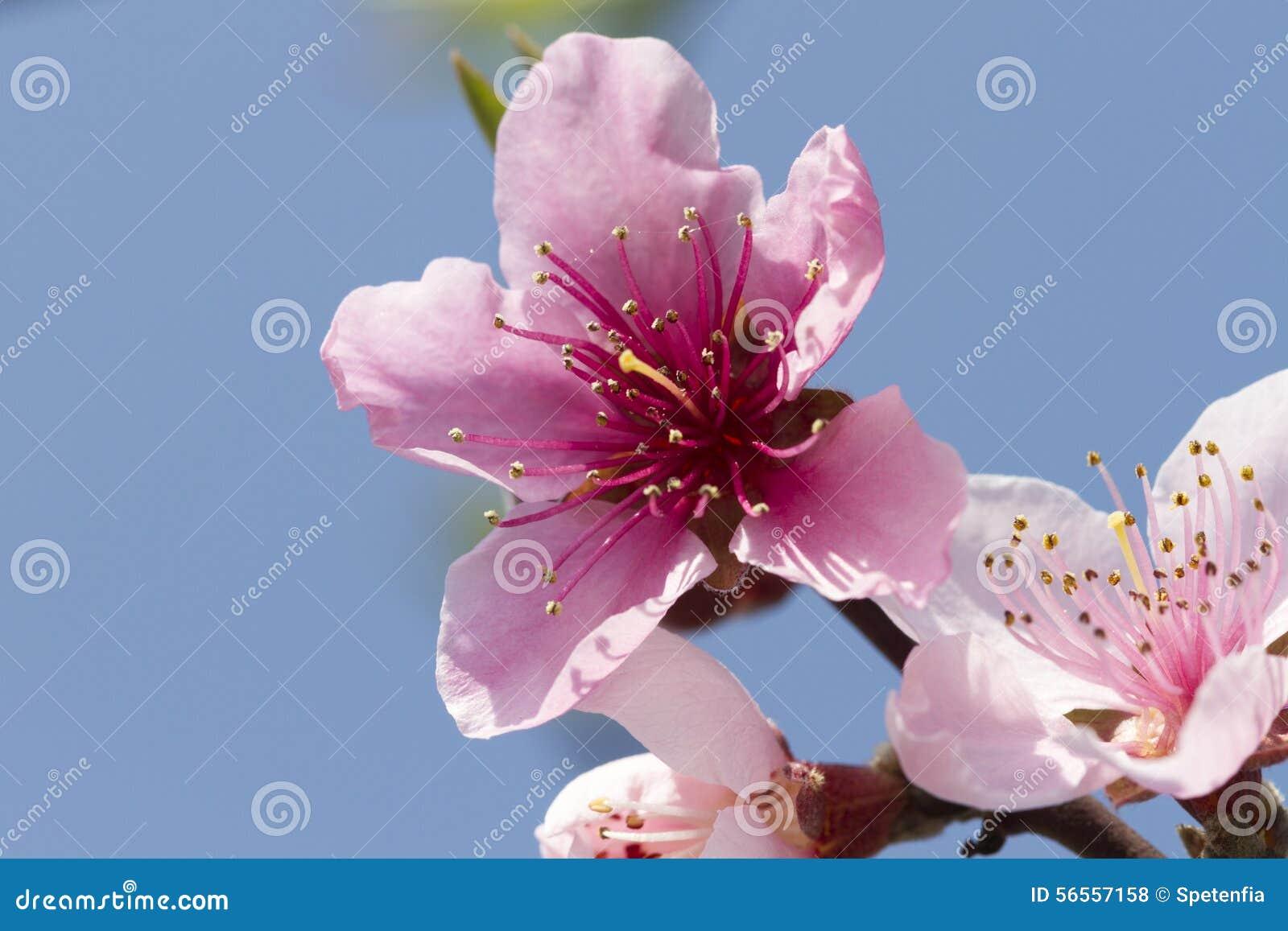 Download Λουλούδι ροδάκινων στο δέντρο Στοκ Εικόνες - εικόνα από φυσικός, floral: 56557158
