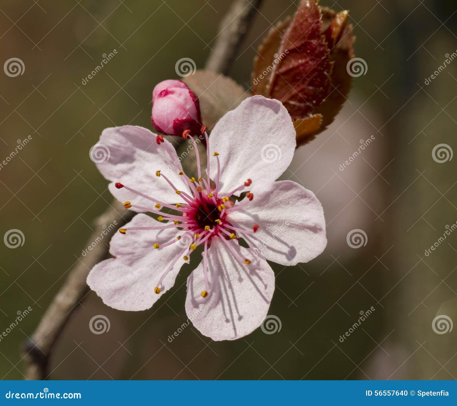 Download Λουλούδι ροδάκινων στο δέντρο Στοκ Εικόνες - εικόνα από άνοιξη, κήπος: 56557640