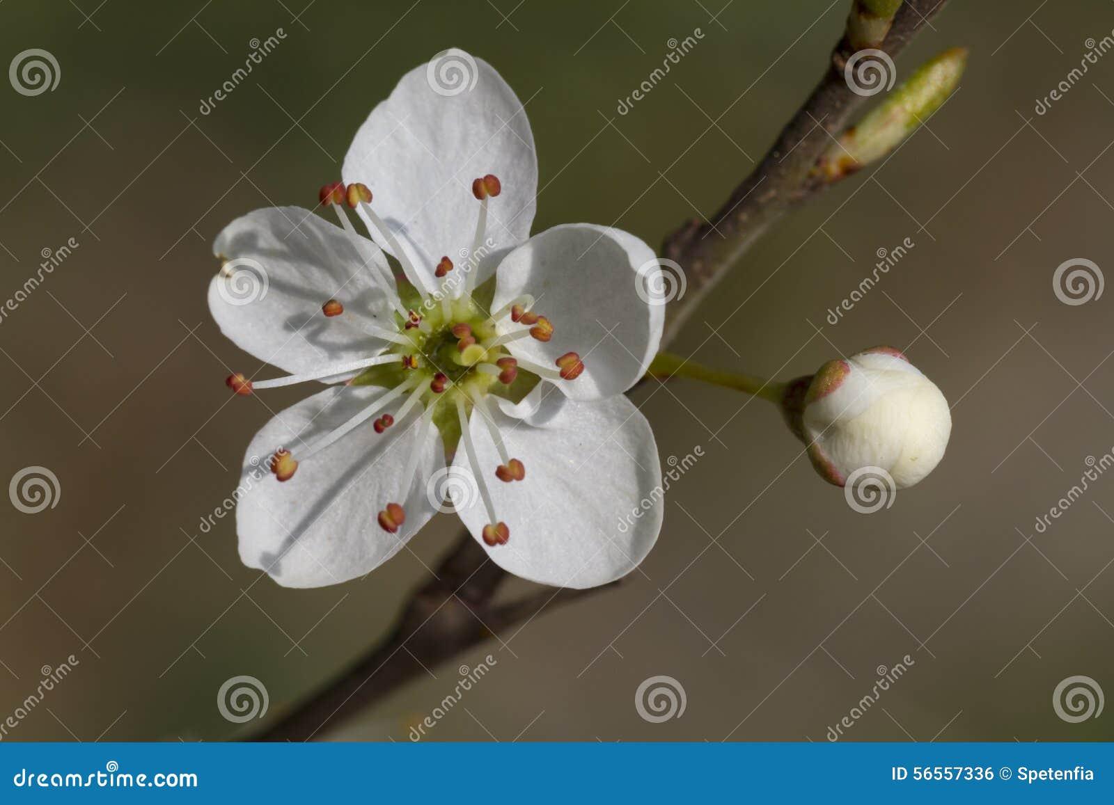 Download Λουλούδι στο δέντρο την άνοιξη Στοκ Εικόνες - εικόνα από άνοιξη, φυτό: 56557336