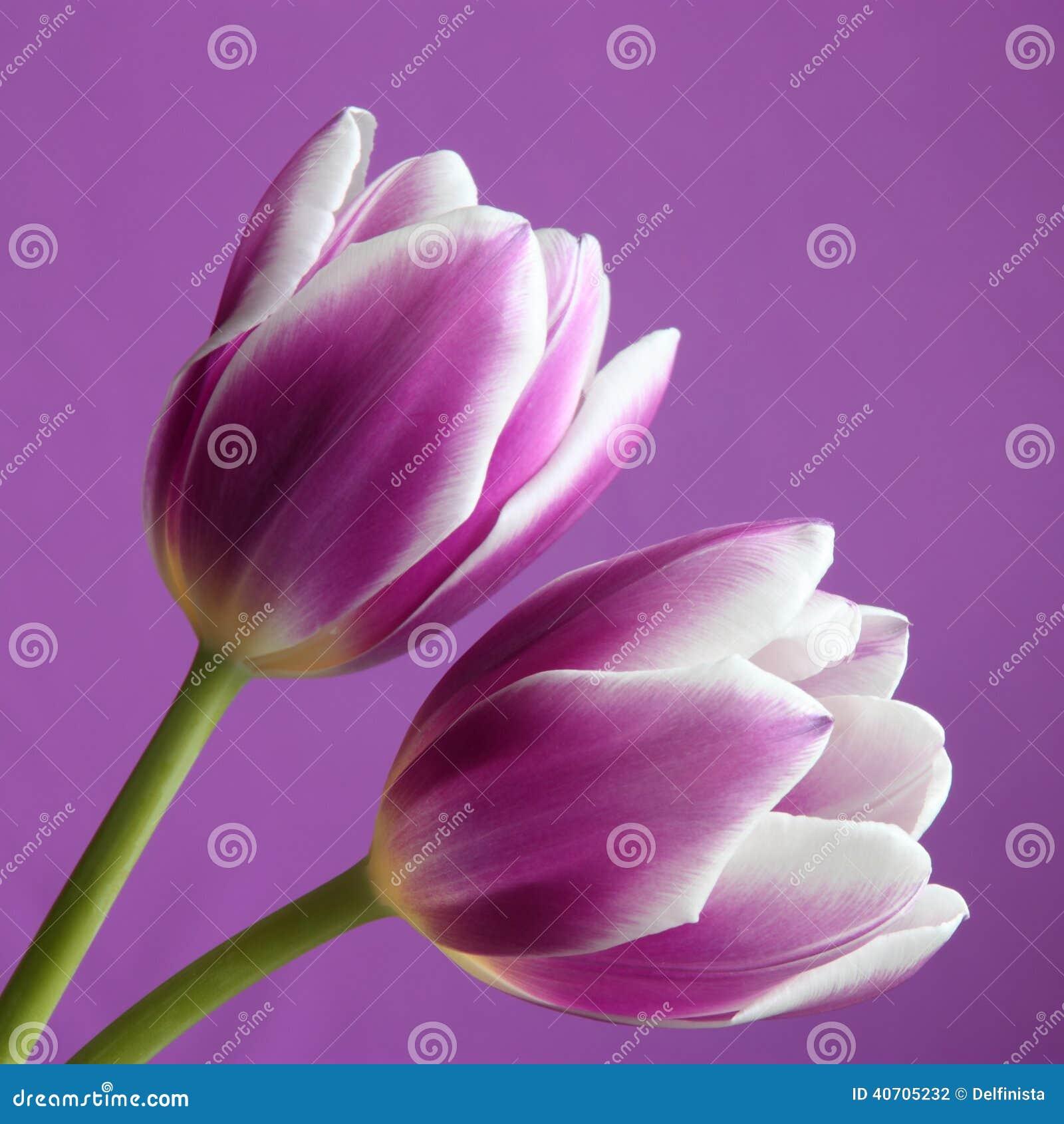 Λουλούδι τουλιπών: Απόθεμα Phot ημέρας βαλεντίνων/μητέρων