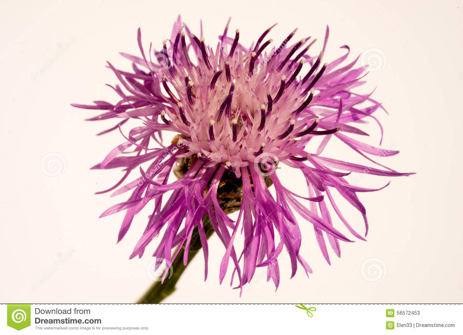 Download Λουλούδι στοκ εικόνα. εικόνα από bloodsuckers, κεφάλι - 56572453
