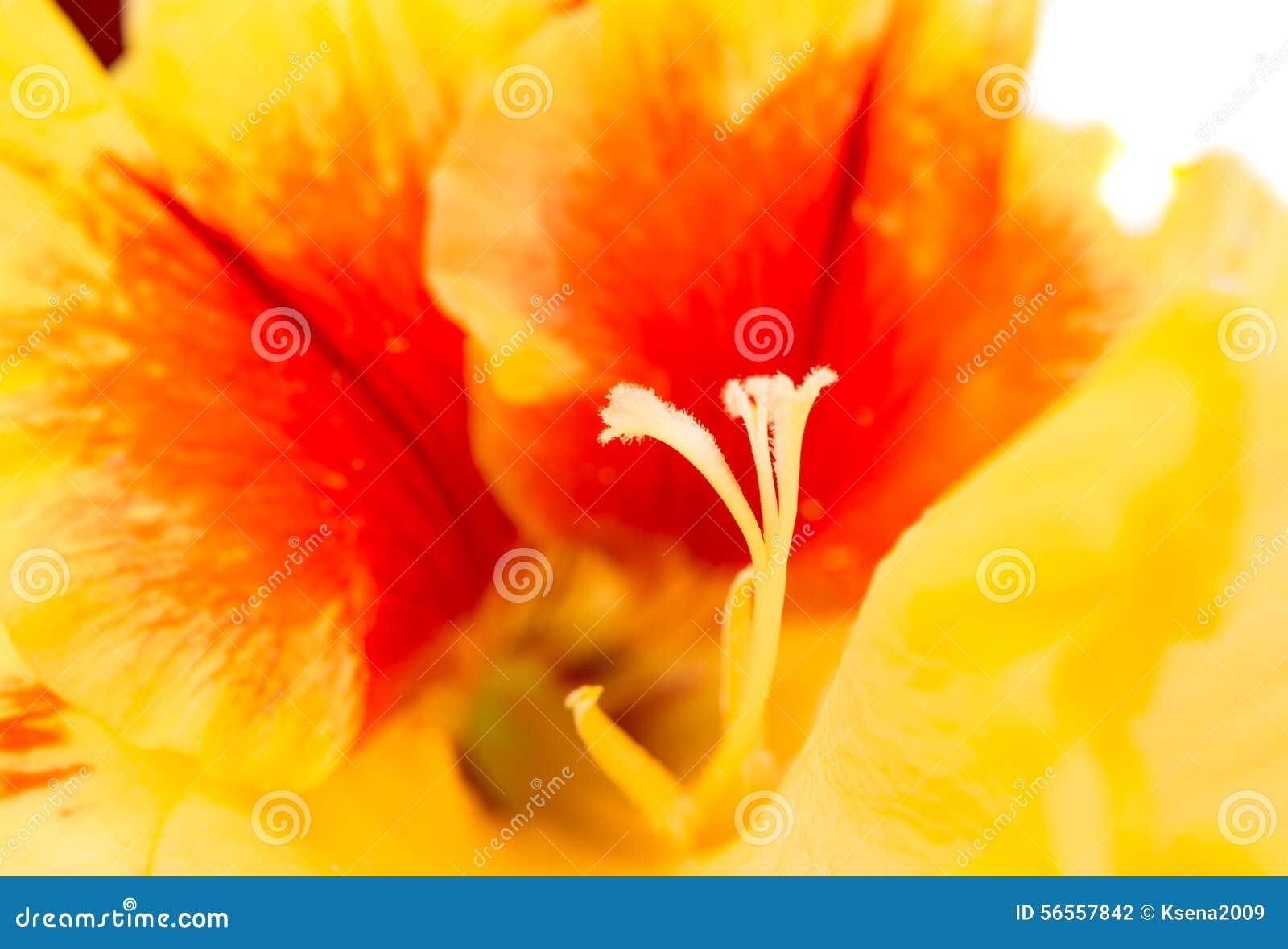 Download Λουλούδι Gladiolus στοκ εικόνες. εικόνα από εσωτερικός - 56557842