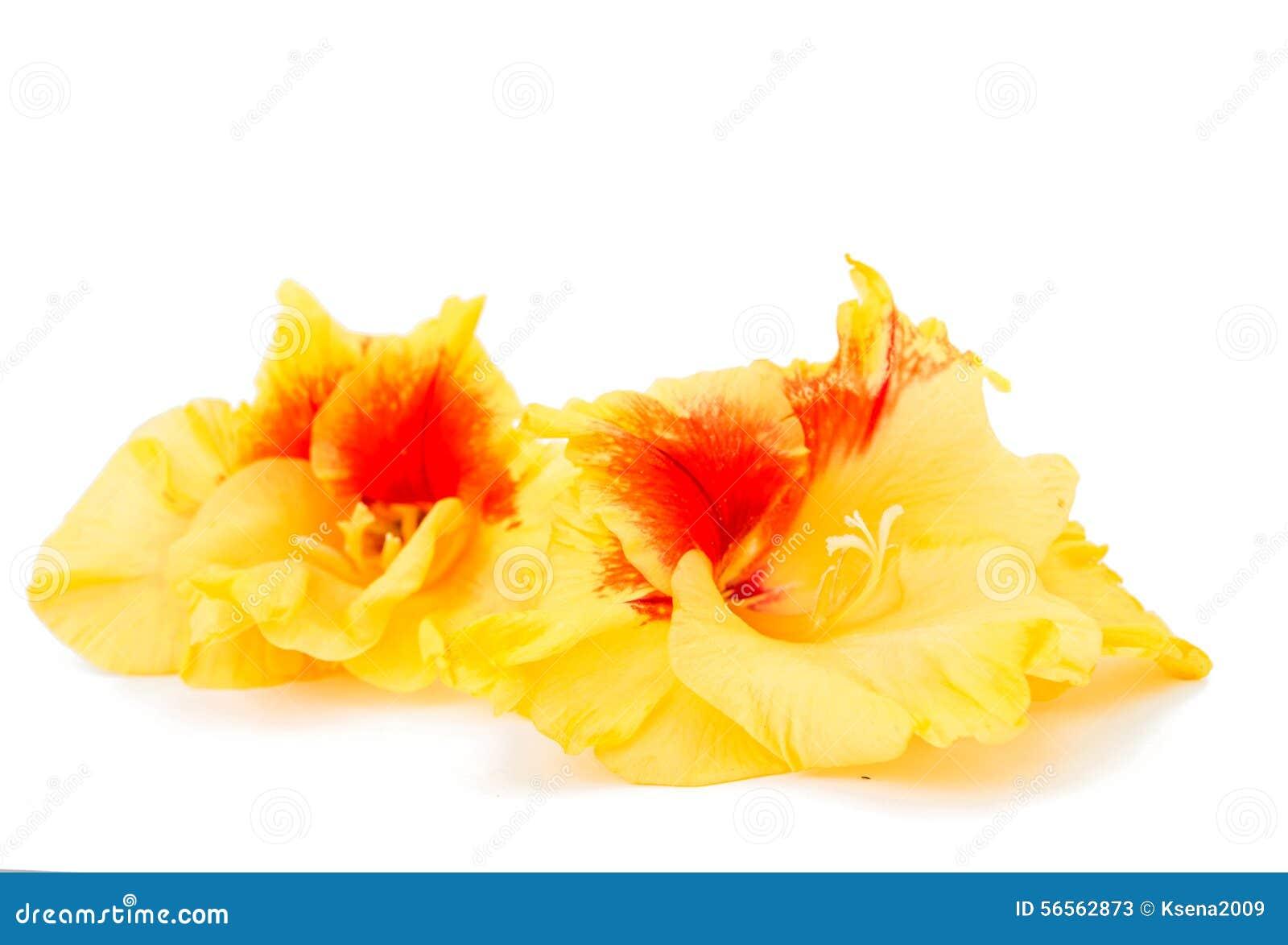 Download Λουλούδι Gladiolus στοκ εικόνα. εικόνα από άσπρος, πέταλο - 56562873
