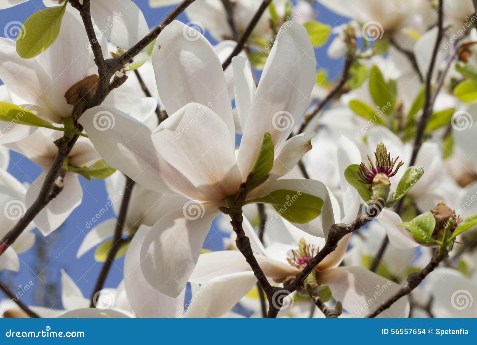 Λουλούδι Magnolia στο δέντρο