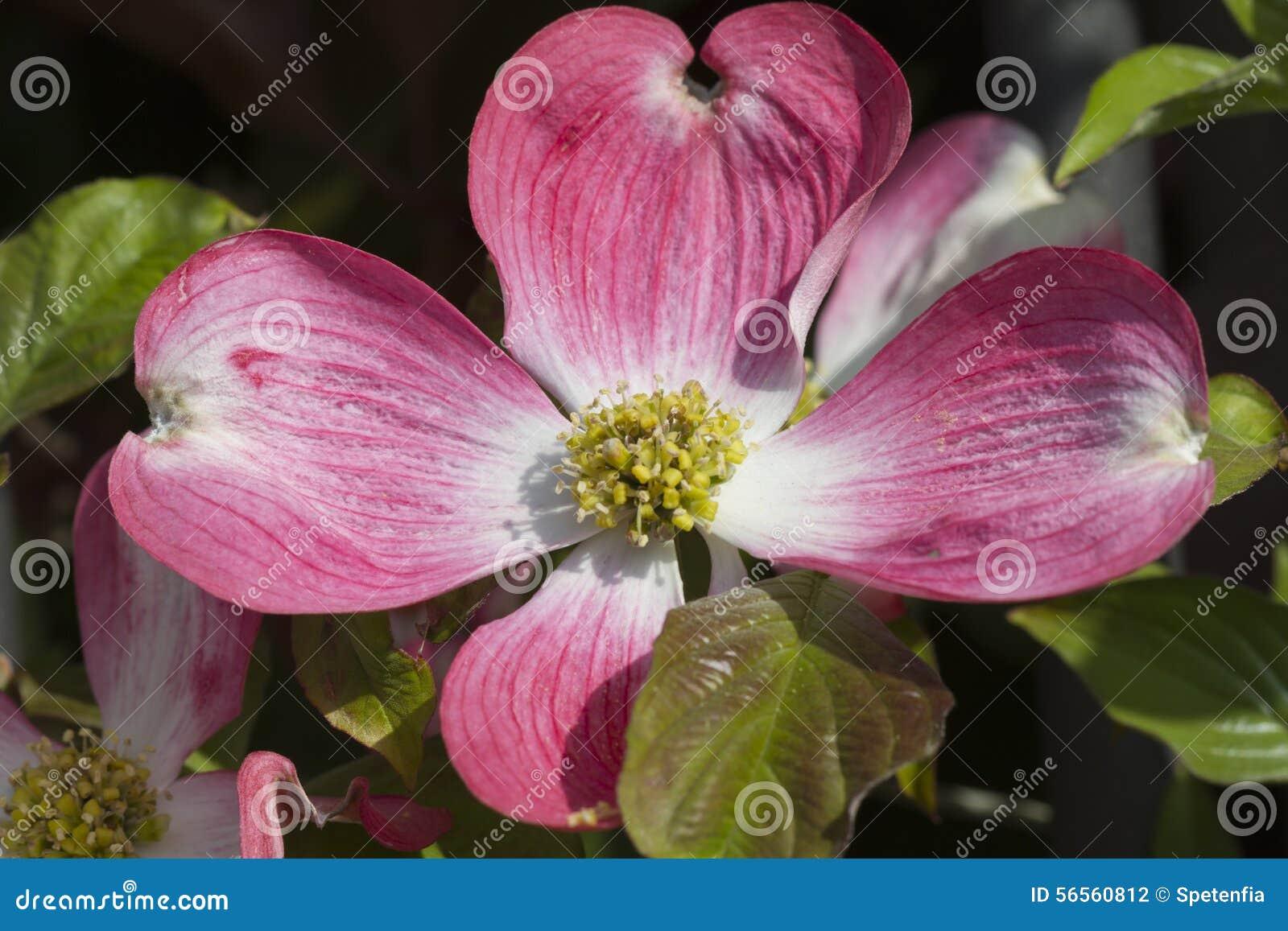 Download Λουλούδι Magnolia στο δέντρο Στοκ Εικόνες - εικόνα από άνοιξη, φύλλα: 56560812