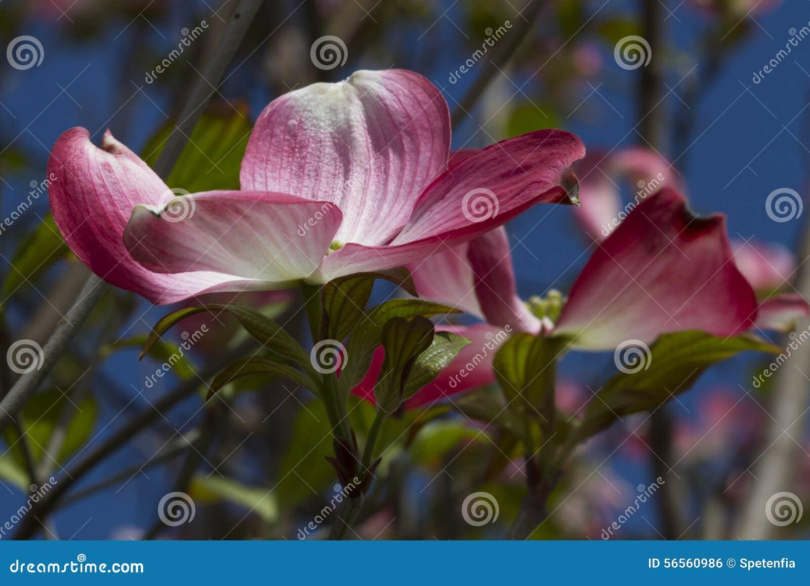 Download Λουλούδι Magnolia στο δέντρο Στοκ Εικόνες - εικόνα από δέντρο, πέταλο: 56560986