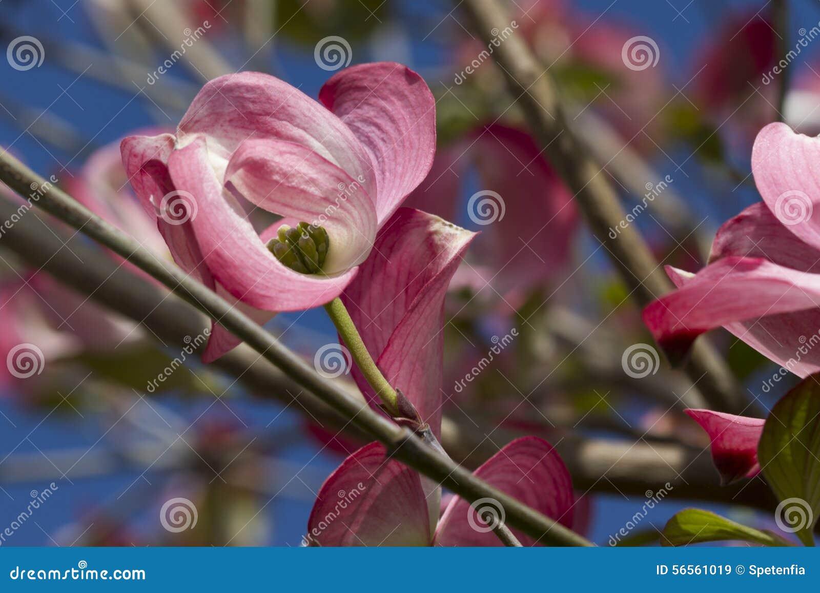 Download Λουλούδι Magnolia στο δέντρο Στοκ Εικόνα - εικόνα από καλοκαίρι, pistil: 56561019