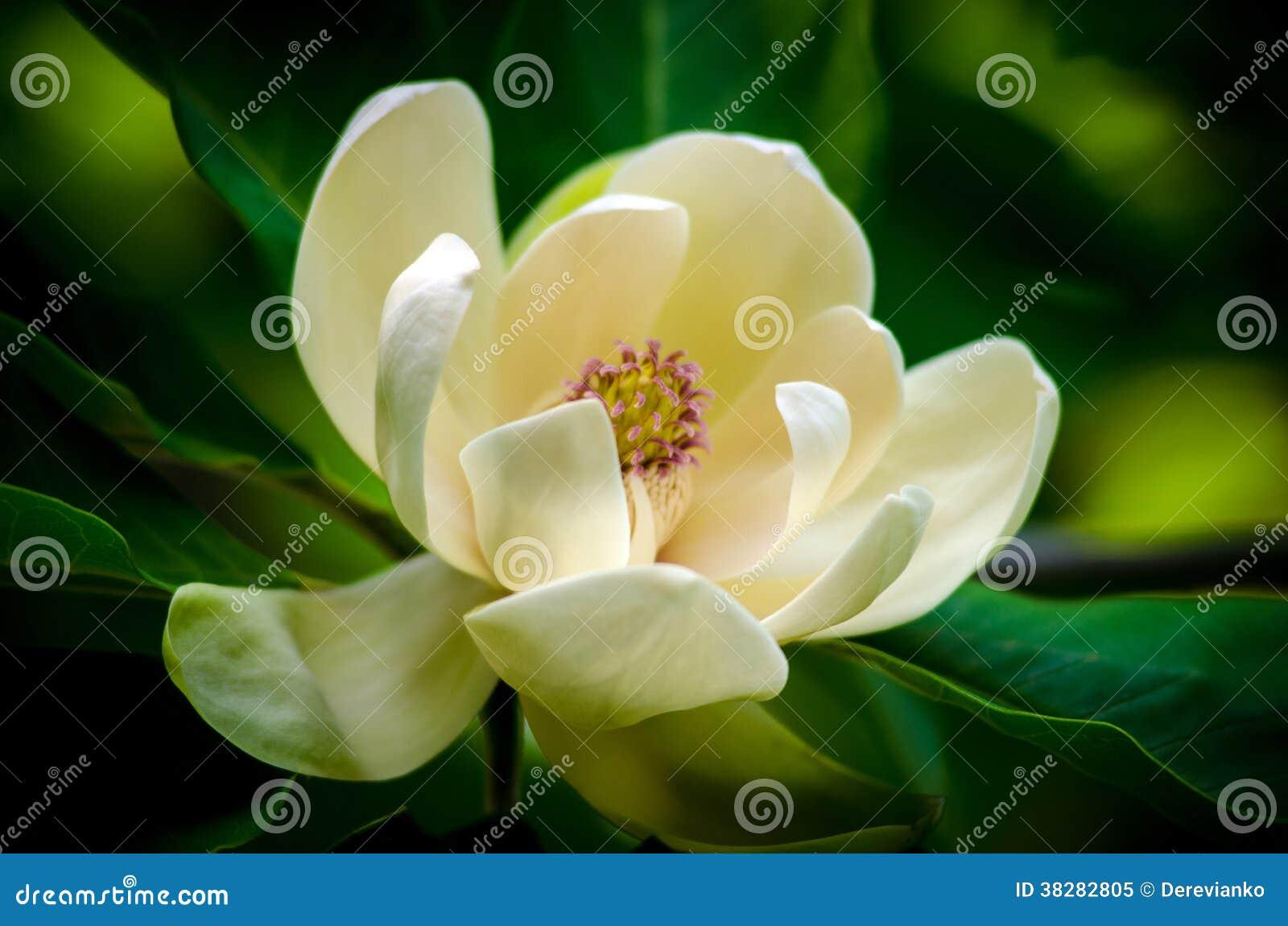 Λουλούδι Magnolia