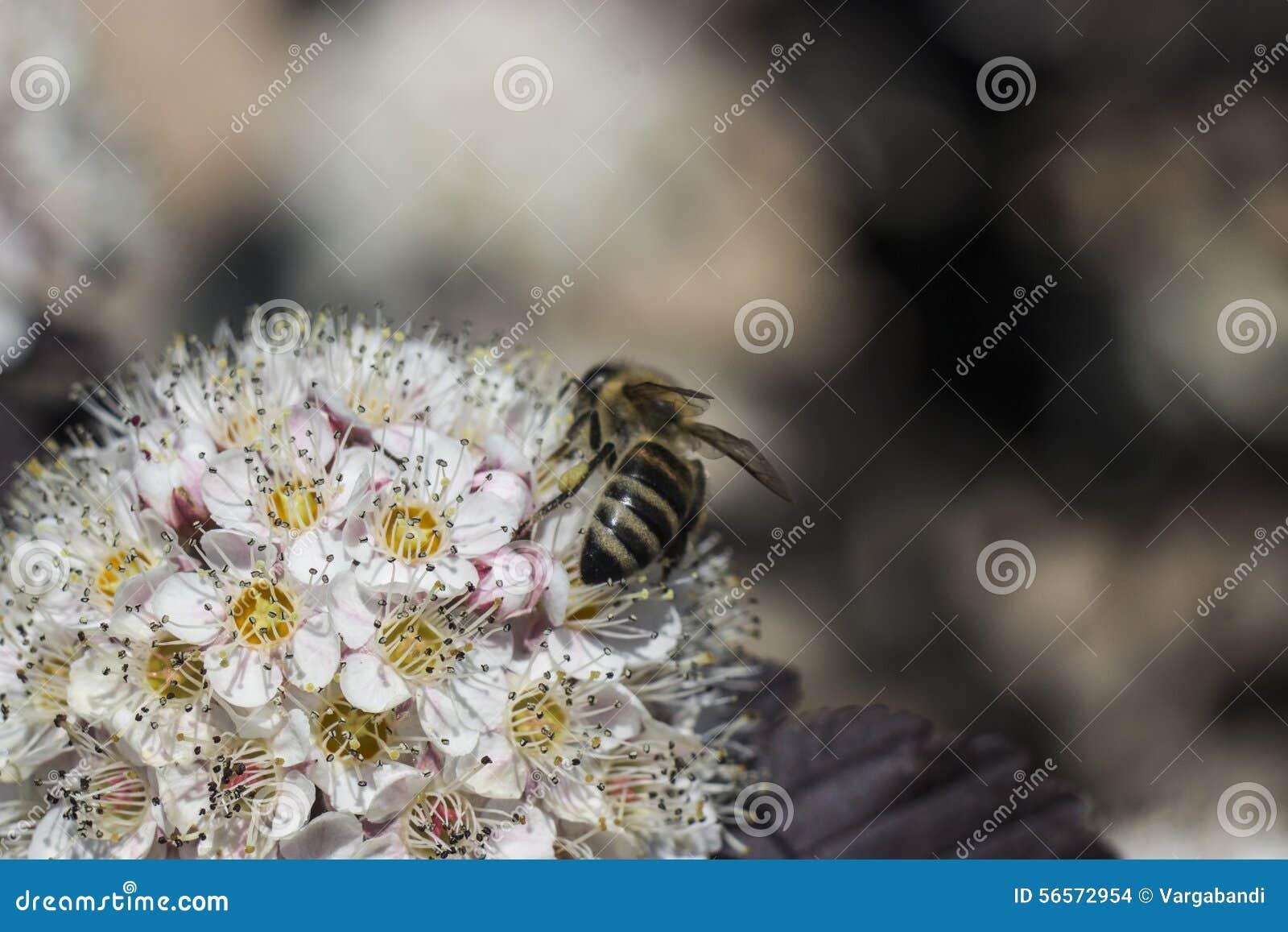 Download Λουλούδι Ninebark στοκ εικόνες. εικόνα από λουλούδια - 56572954