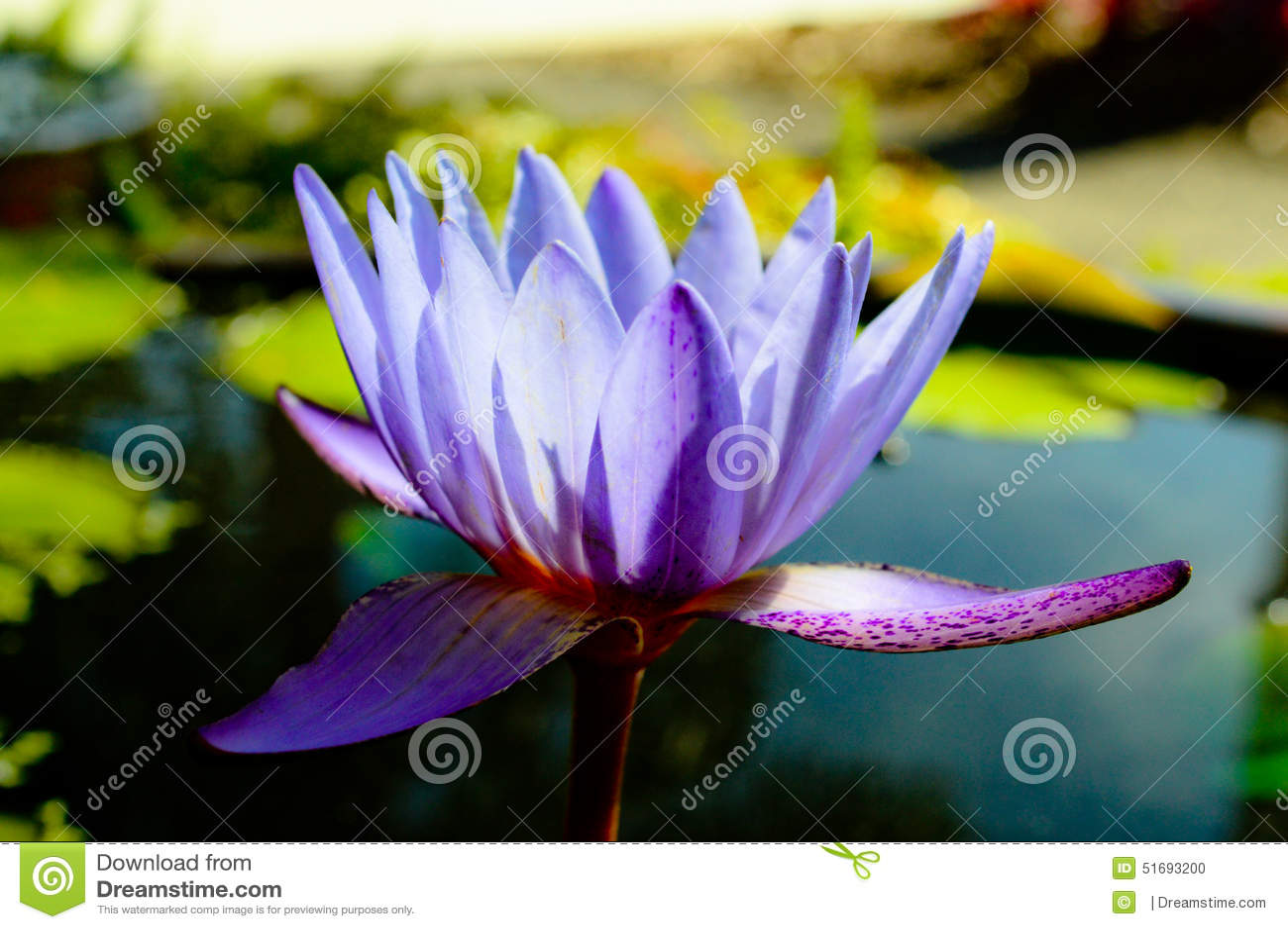 Λουλούδι Purples του ΛΦ W