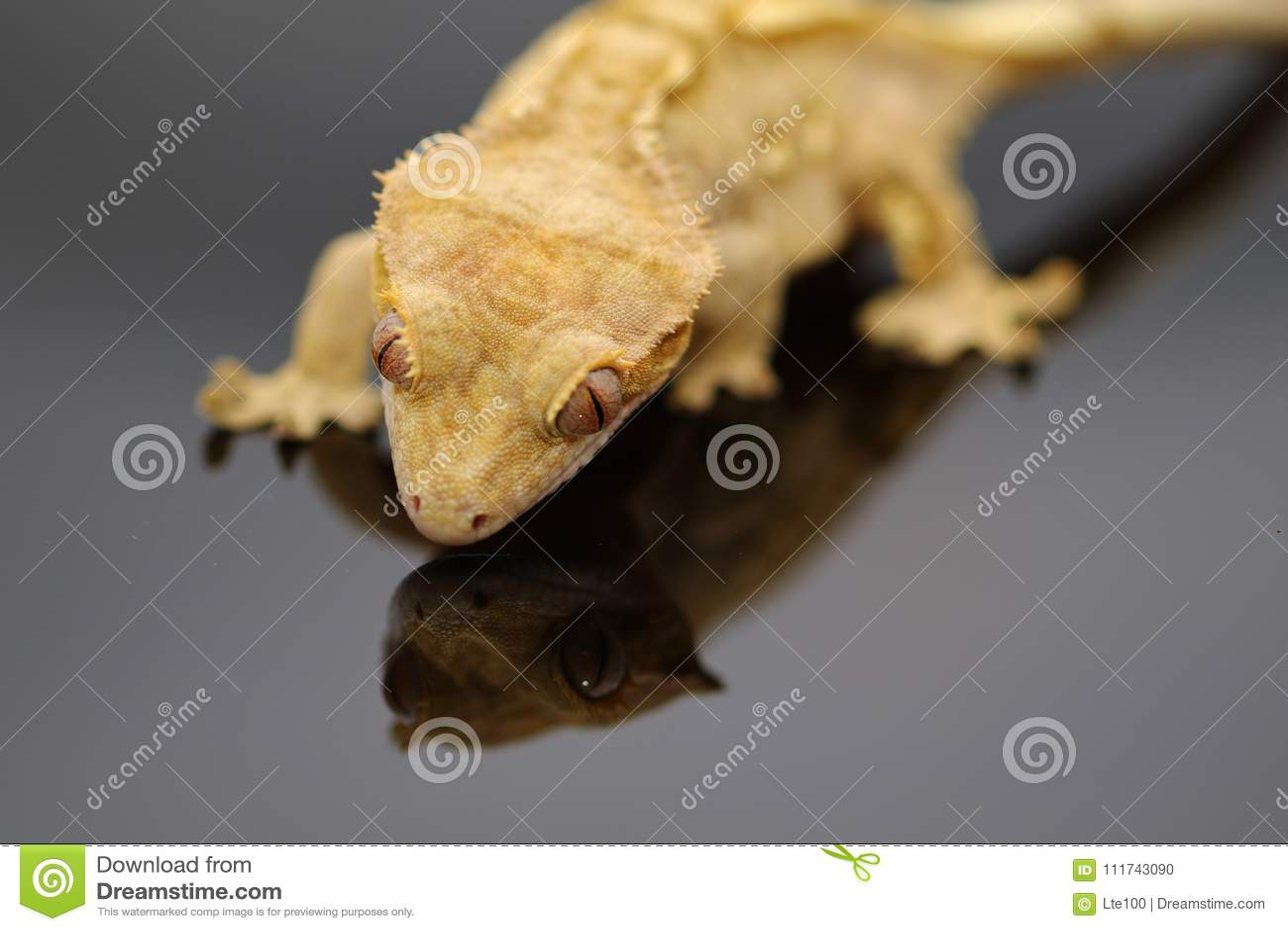 Λοφιοφόρες αντανακλάσεις gecko