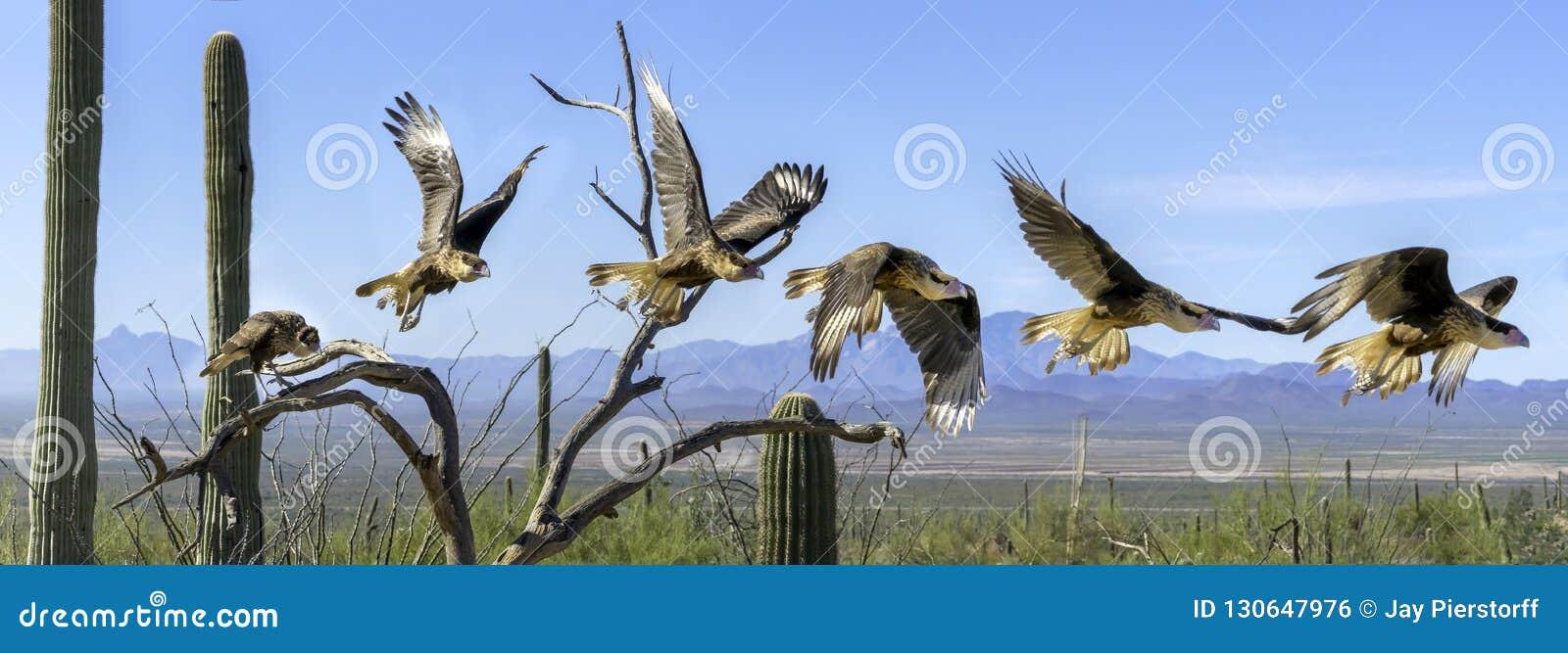 Λοφιοφόρη ακολουθία Flyiing πανοράματος Caracara Caracara cheriway στην έρημο Sonoran