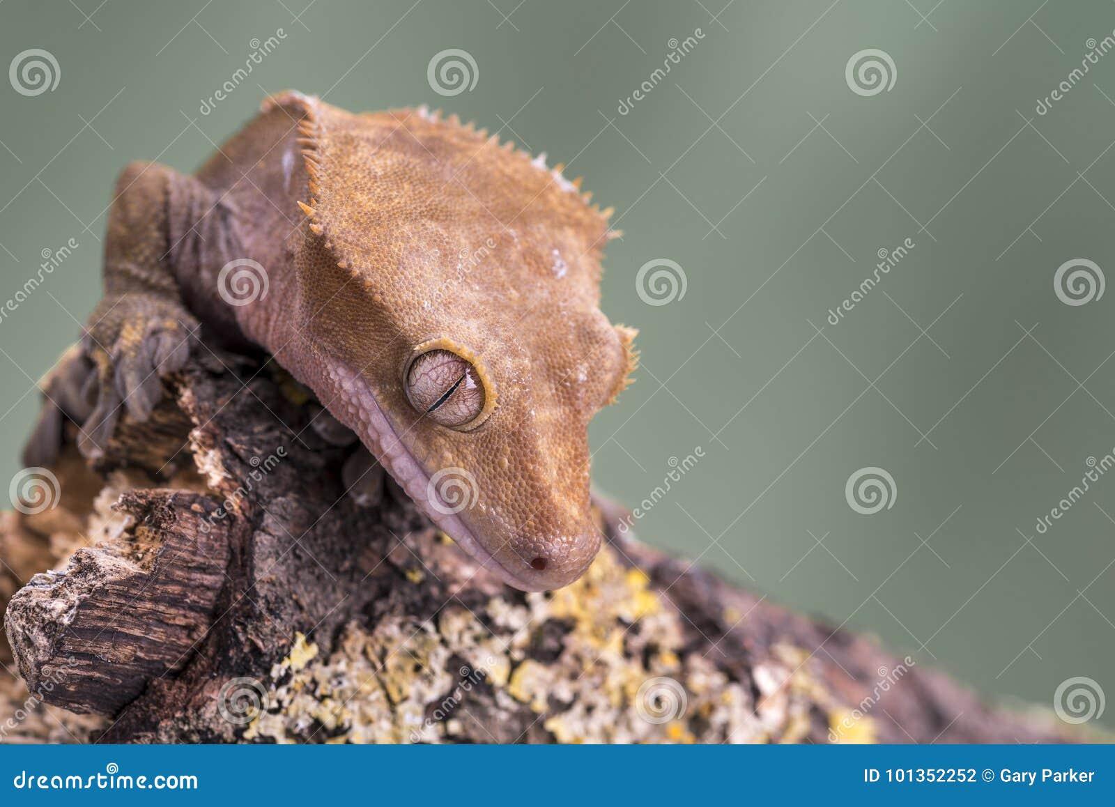 λοφιοφόρο gecko Απομονωμένος σε ένα χαμηλωμένο πράσινο κλίμα Εστίαση στα μάτια