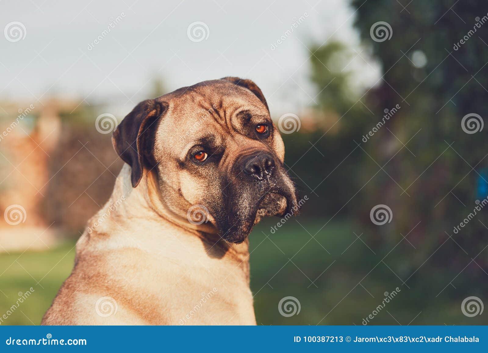 Λυπημένος κοιτάξτε του τεράστιου σκυλιού