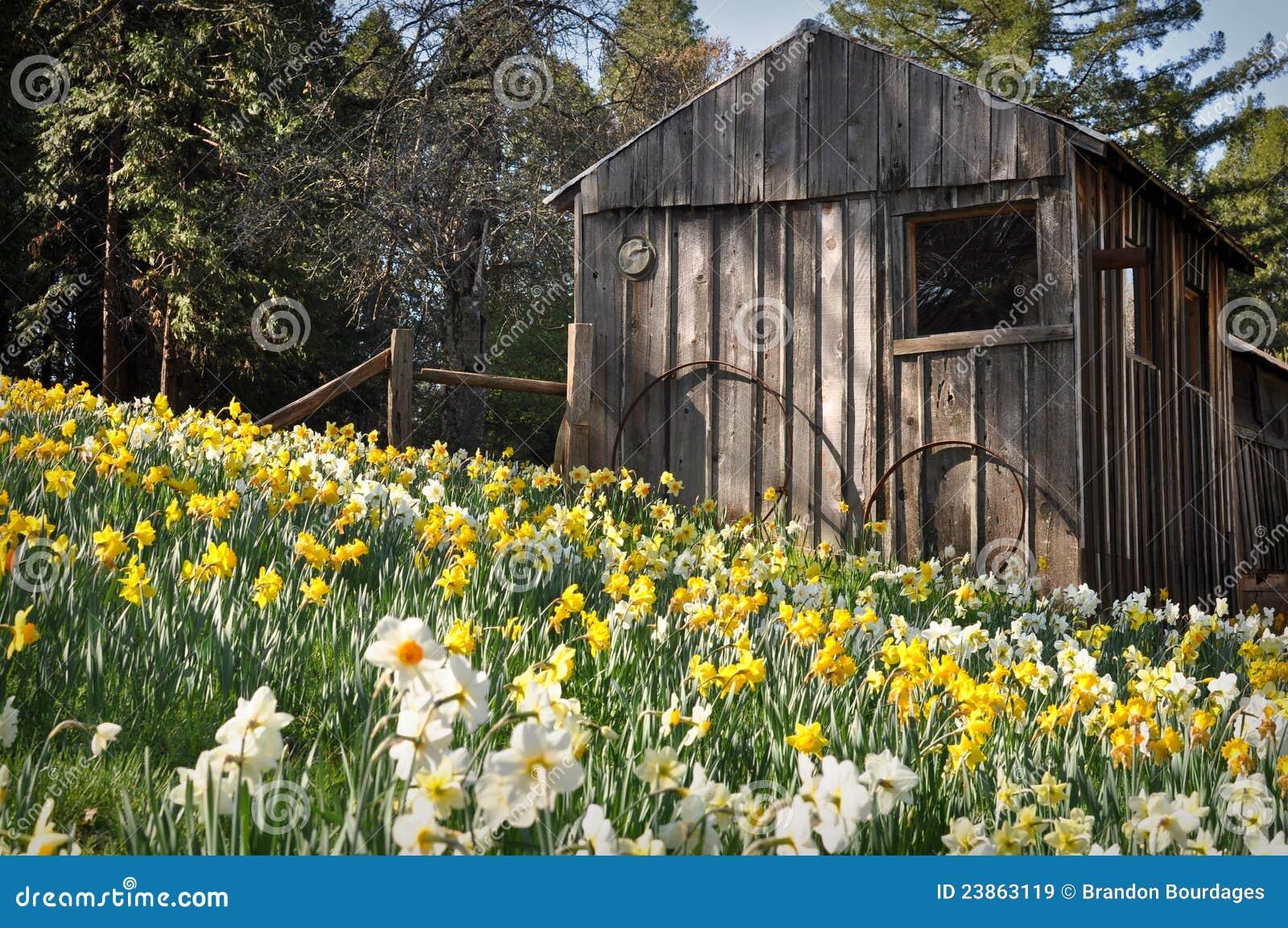 λόφος καμπινών daffodil