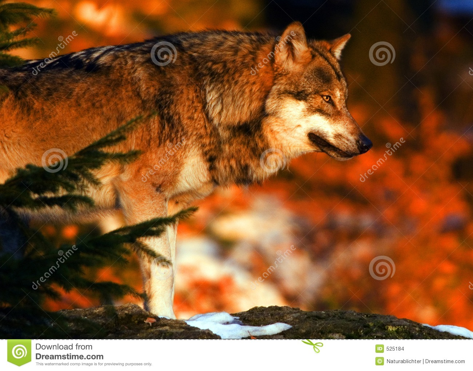 λύκος ανατολής
