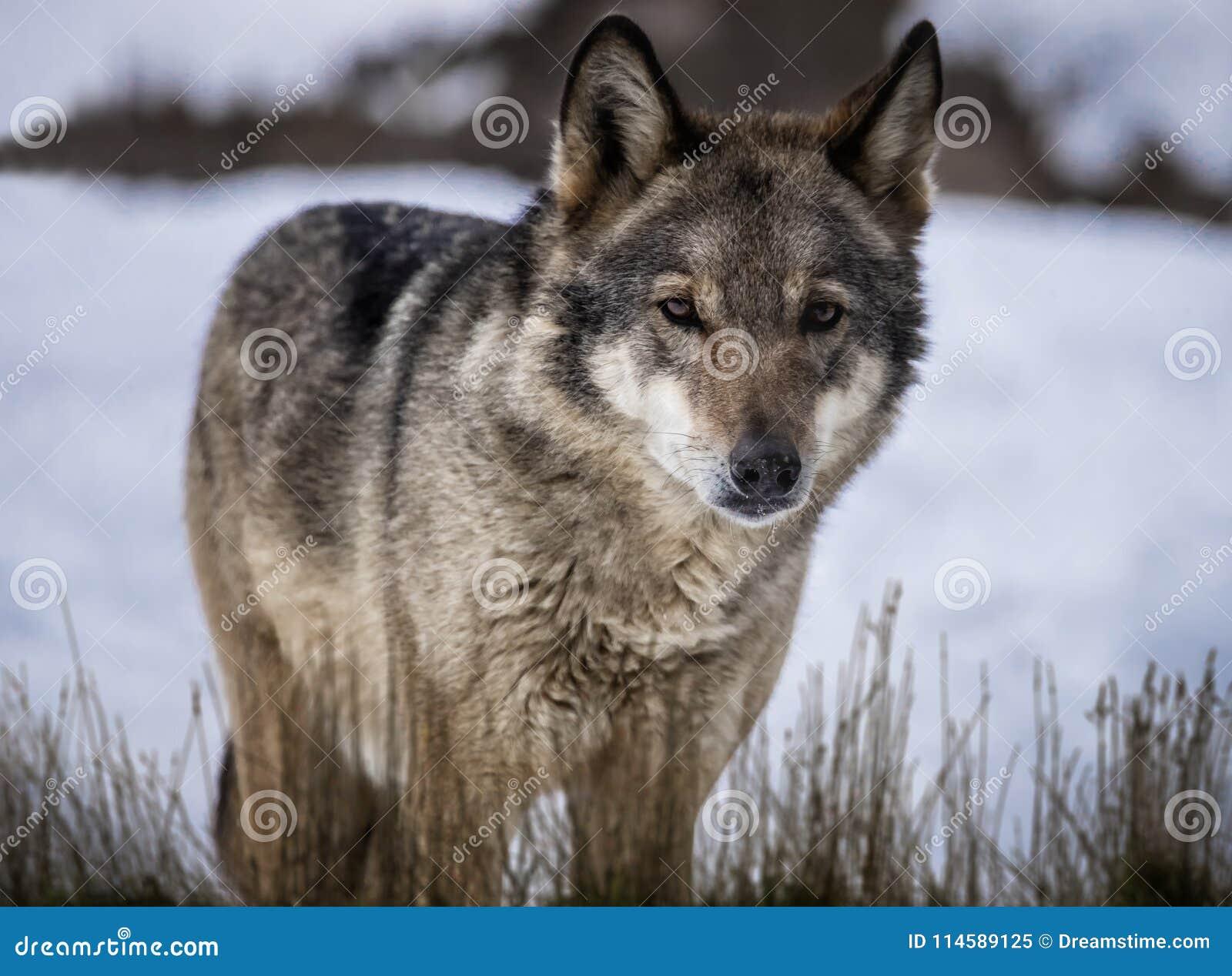 Λύκος που στέκεται στη χλόη στο χιόνι στο δάσος