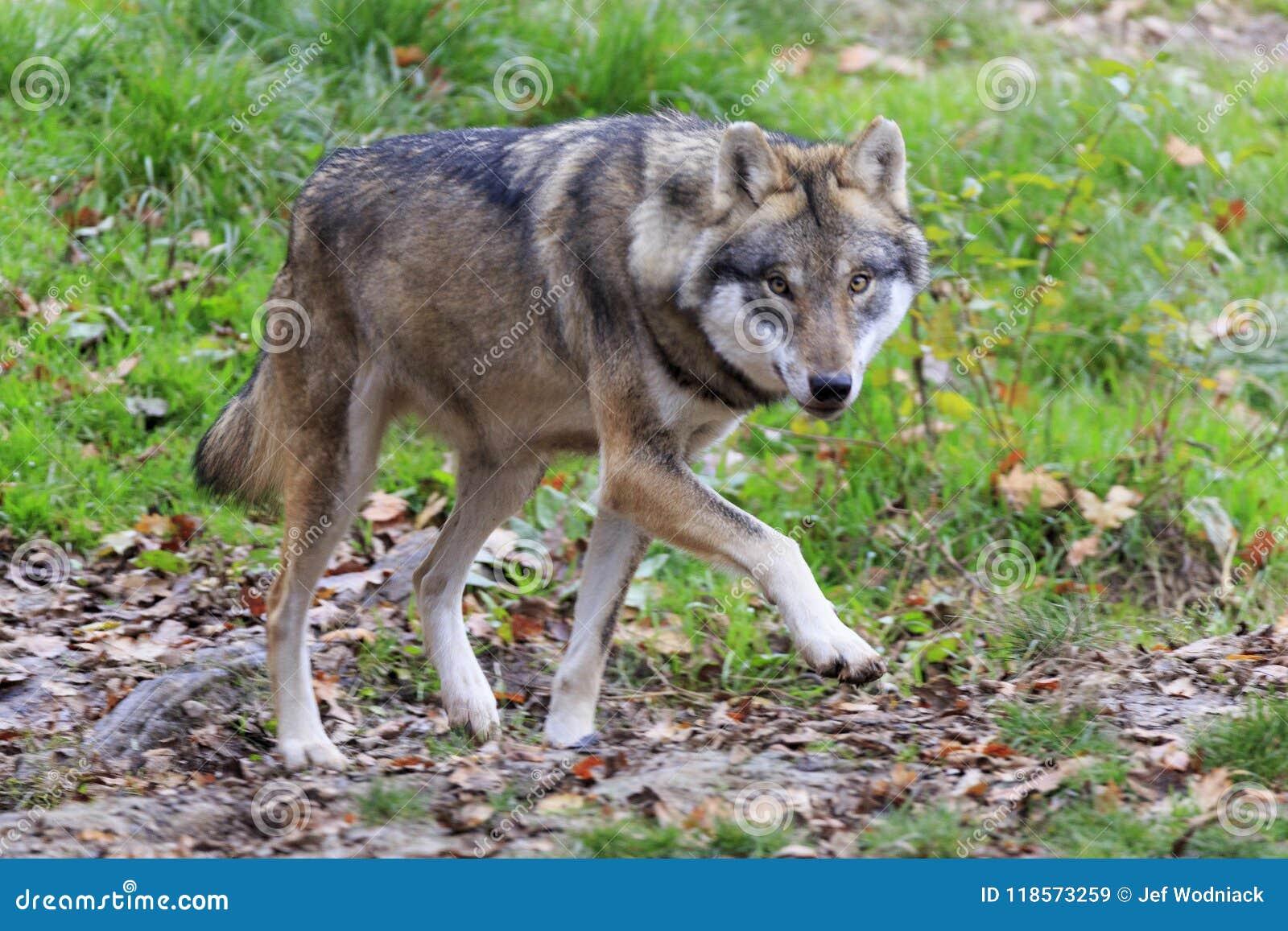 Λύκος στο δάσος