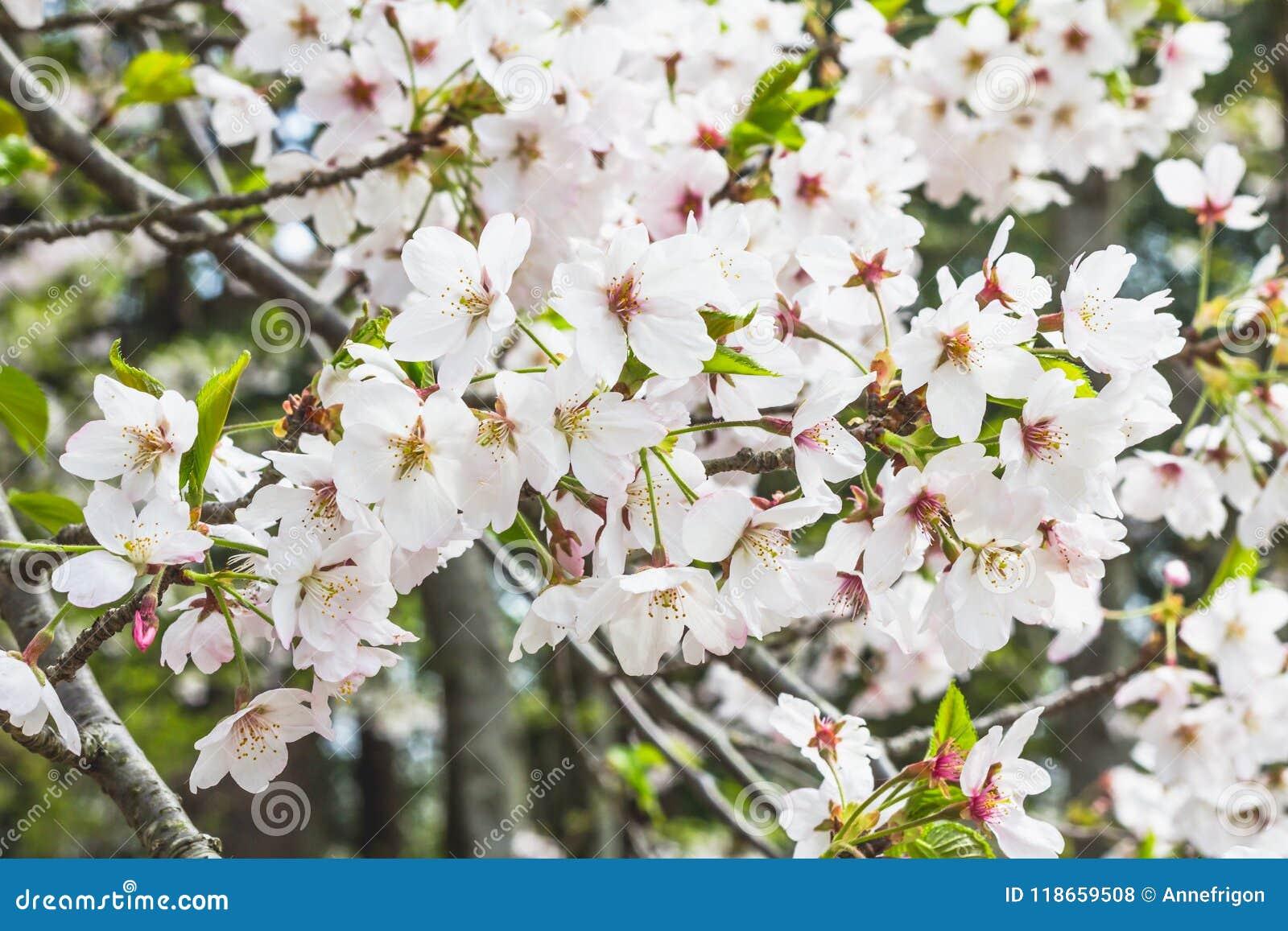 Μάζα των άσπρων ανθών κερασιών στο δέντρο στην Ιαπωνία