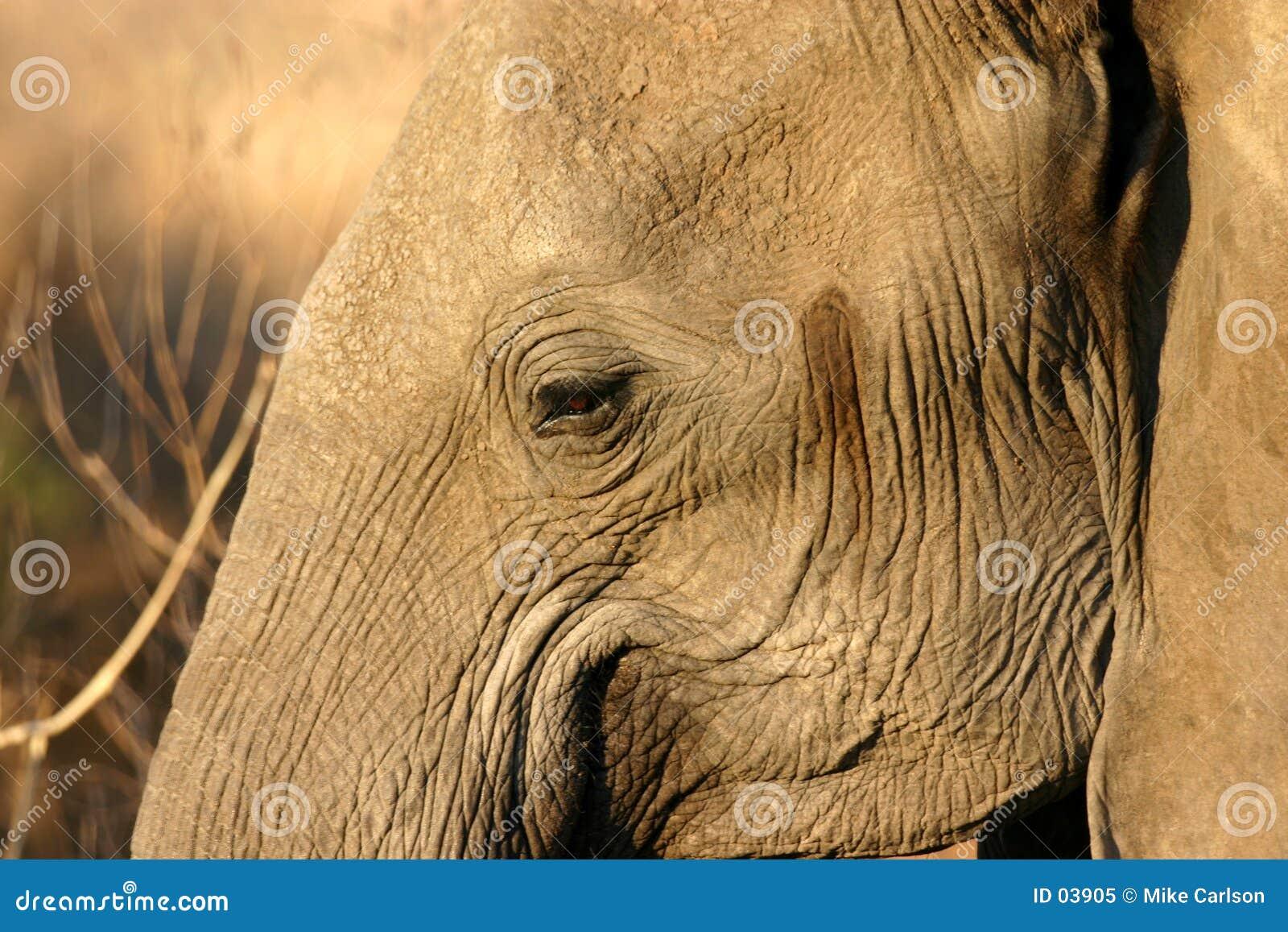 μάτι ελεφάντων