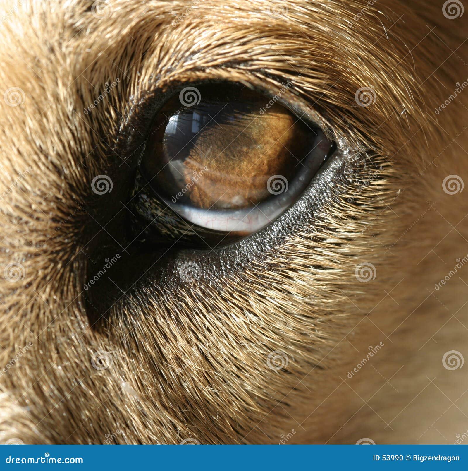 μάτι s σκυλιών