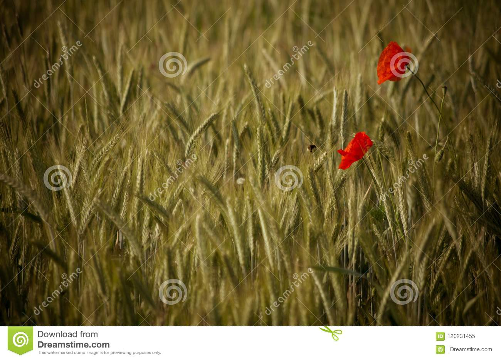Μέλισσα που επικονιάζει ένα κόκκινο λουλούδι παπαρουνών σε έναν τομέα σίτου