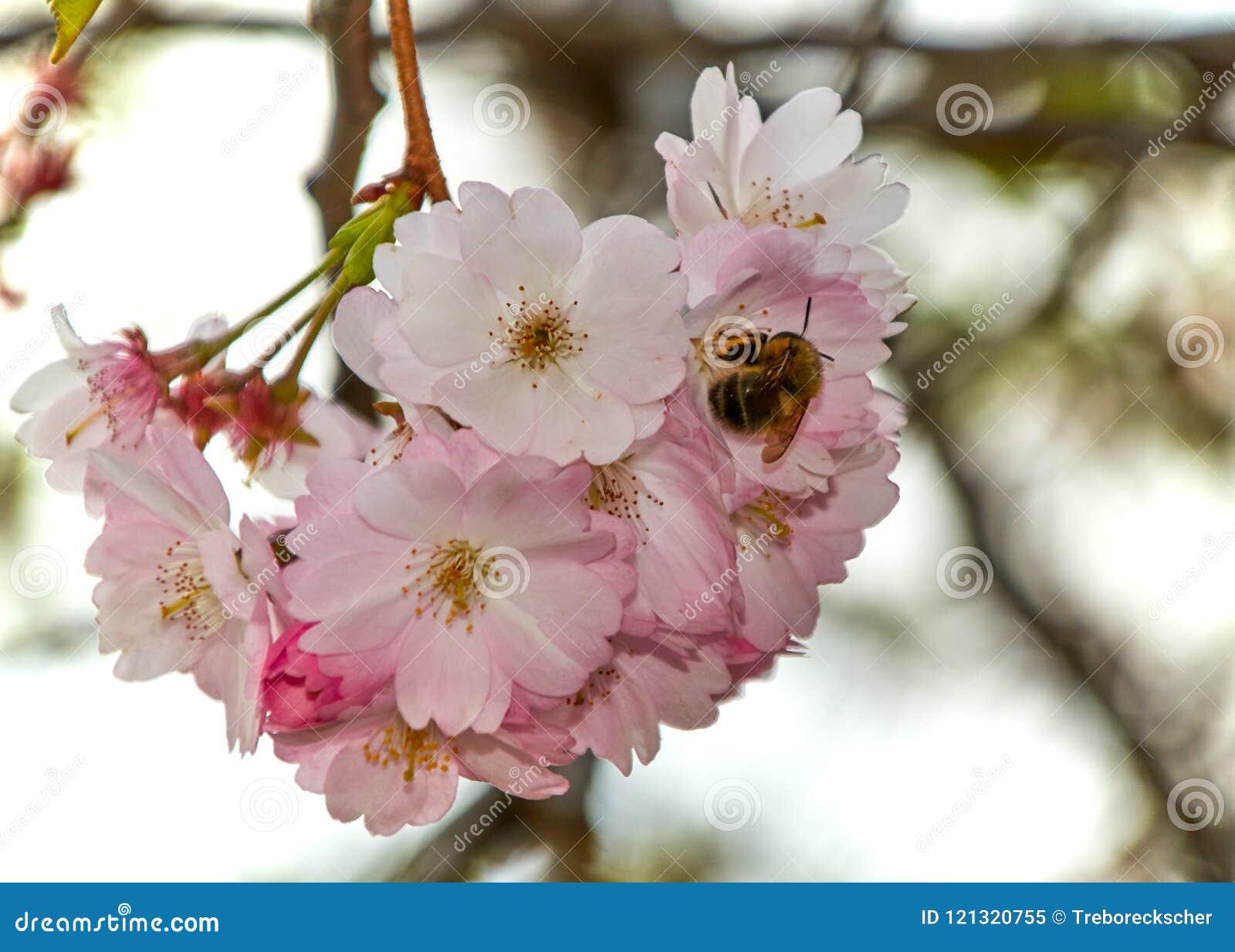 Μέλισσα σε ένα άνθος κερασιών