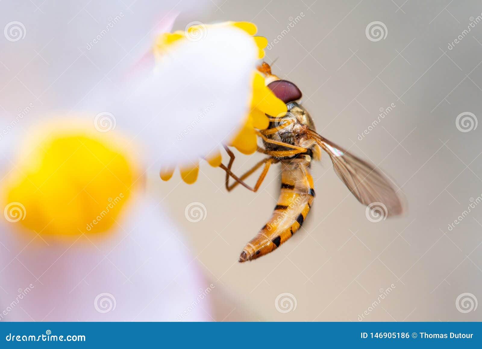 Μέλισσα σε ένα λουλούδι που τρώει τη γύρη