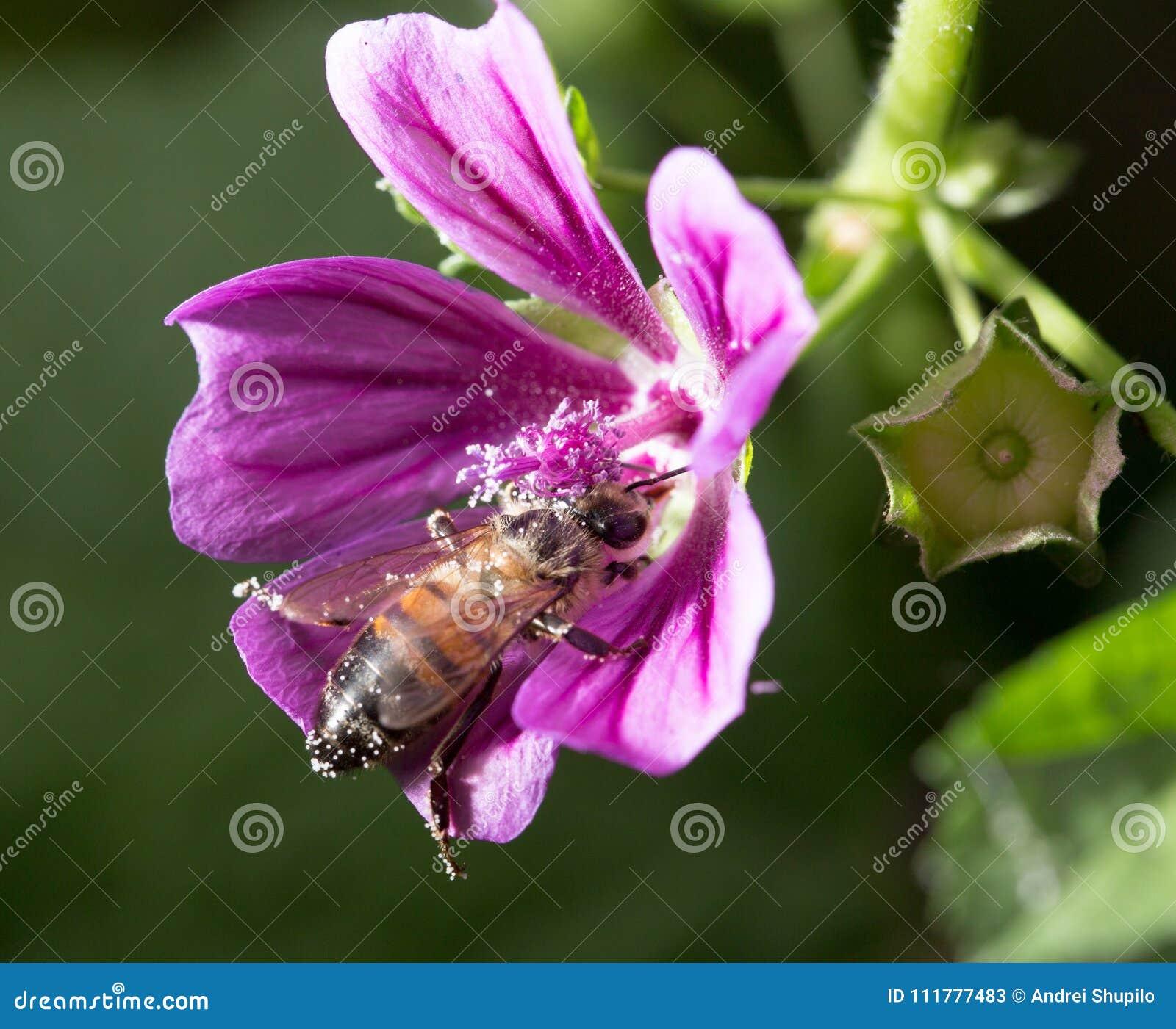Μέλισσα σε ένα πορφυρό λουλούδι Μακροεντολή