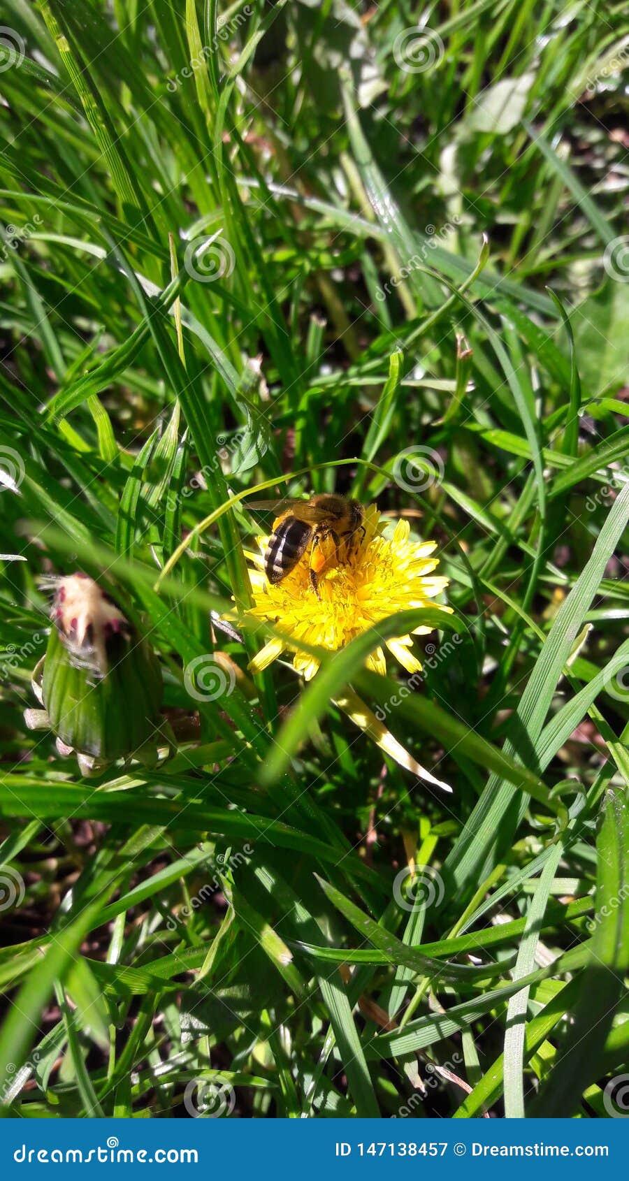 Μέλισσα στην πικραλίδα