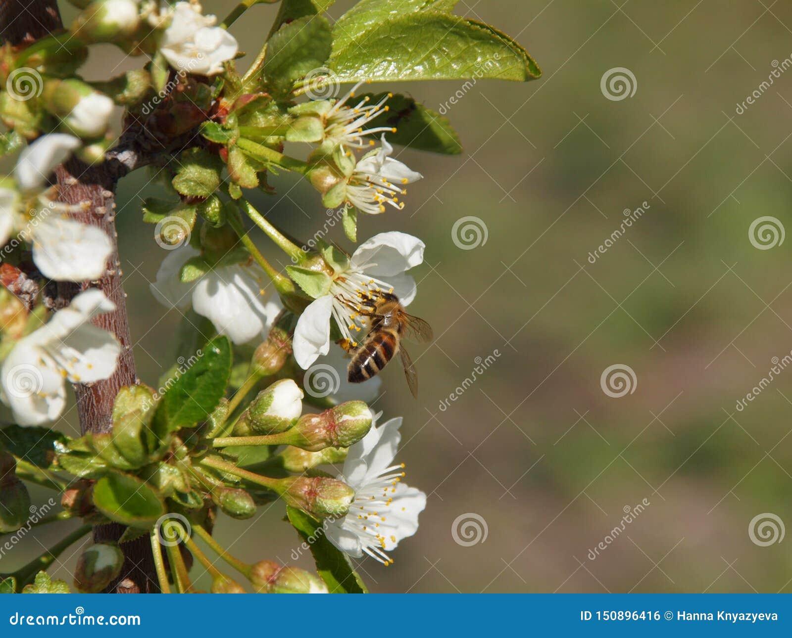 Μέλισσα στο άνθος κερασιών