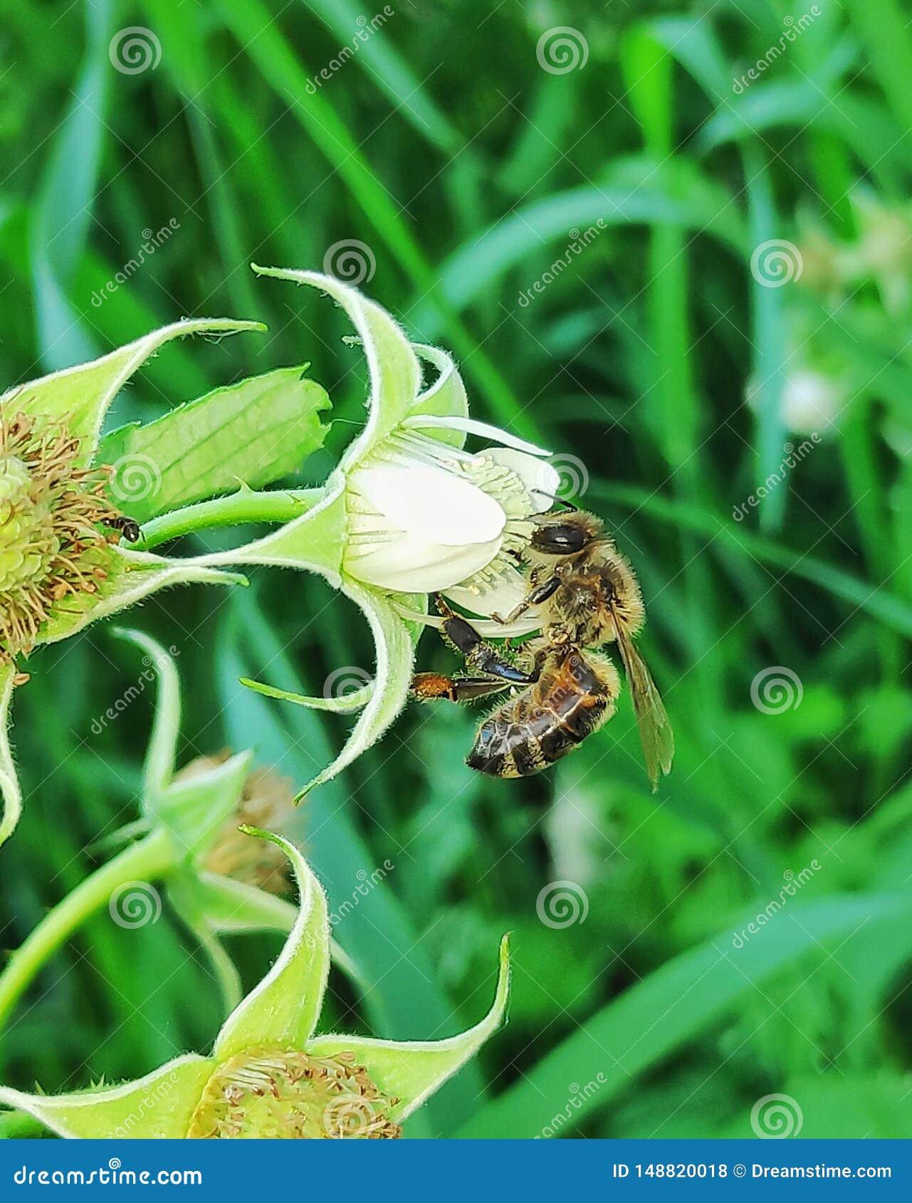Μέλισσα στο λουλούδι σμέουρων