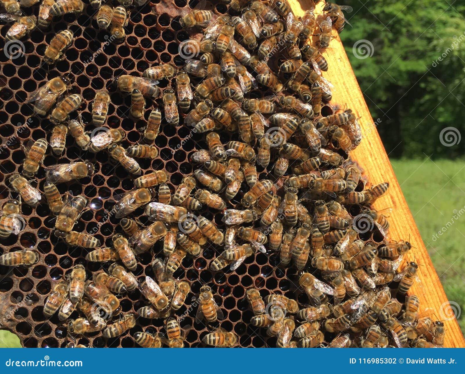 Μέλισσες μελιού σκληρές στην εργασία