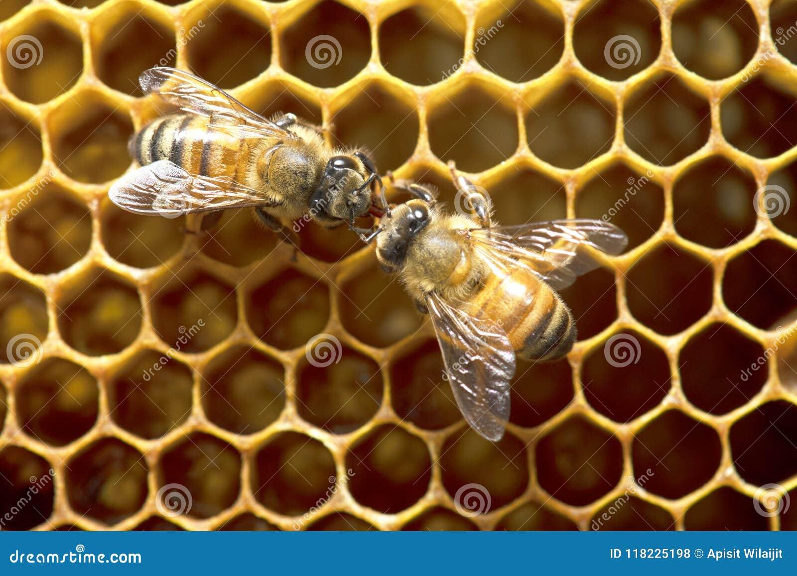 Μέλισσες μελιού στην κυψέλη μελισσών στην Ταϊλάνδη και τη Νοτιοανατολική Ασία