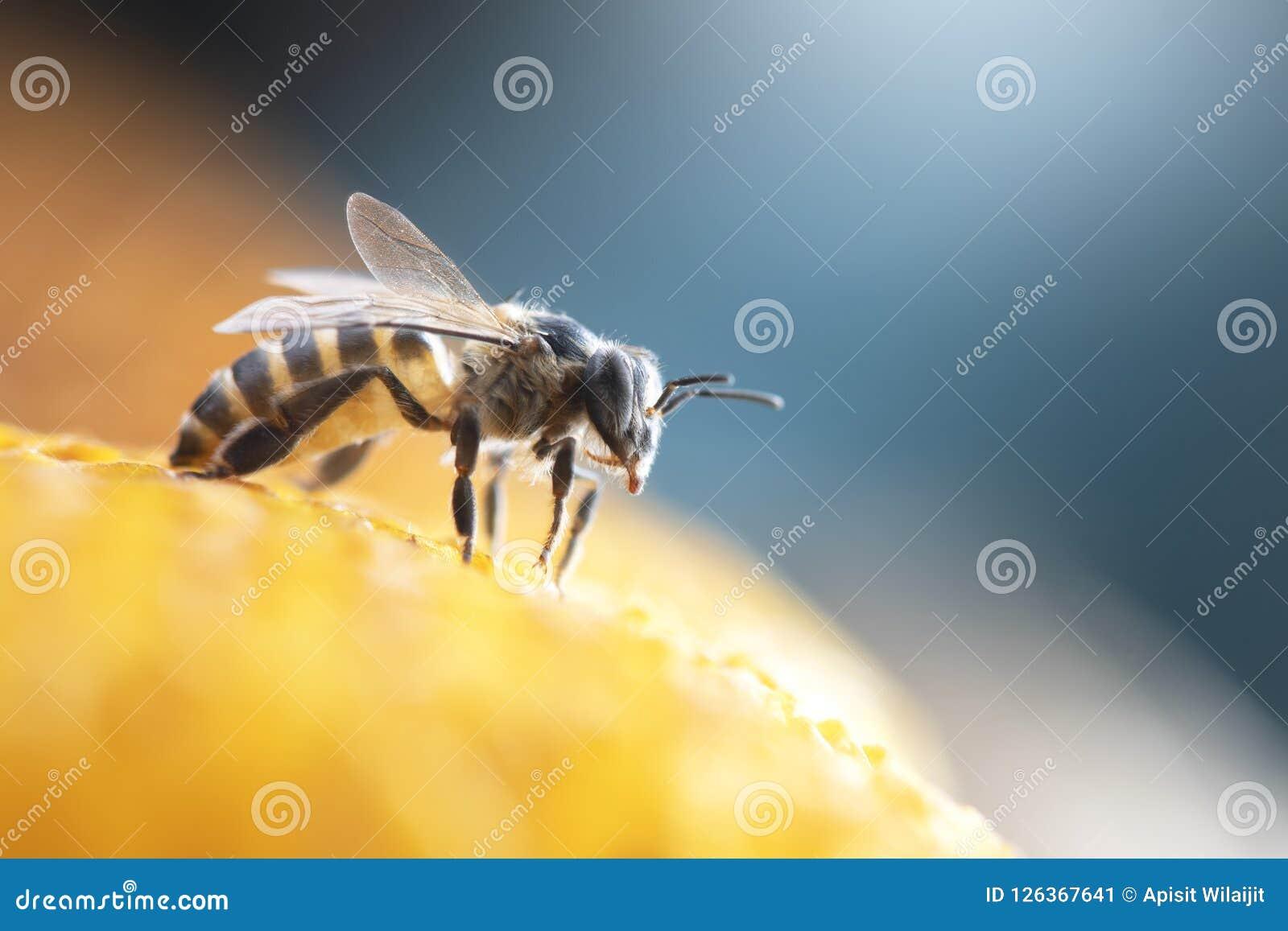 Μέλισσες μελιού στην κυψέλη μελισσών