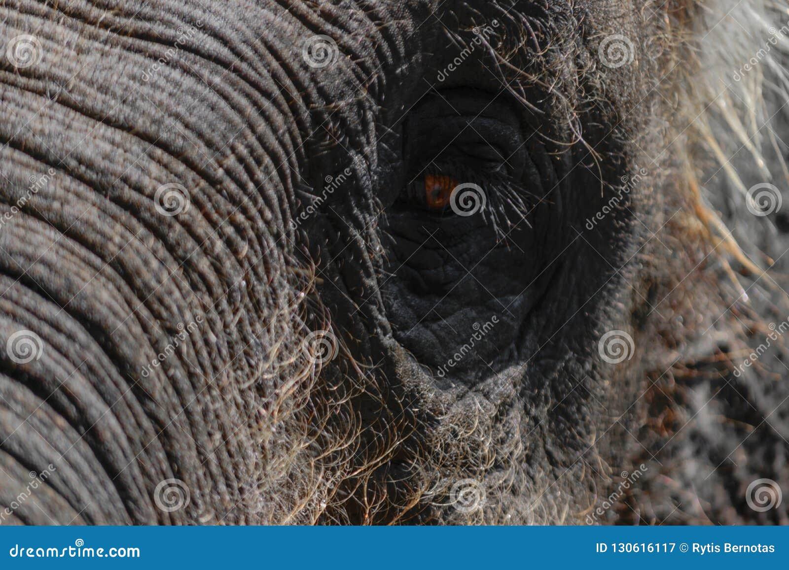 Μέρος του κεφαλιού ελεφάντων Sumatra με το τεράστιο μάτι