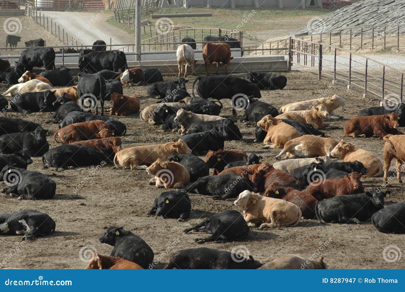 μέρος τροφών βοοειδών