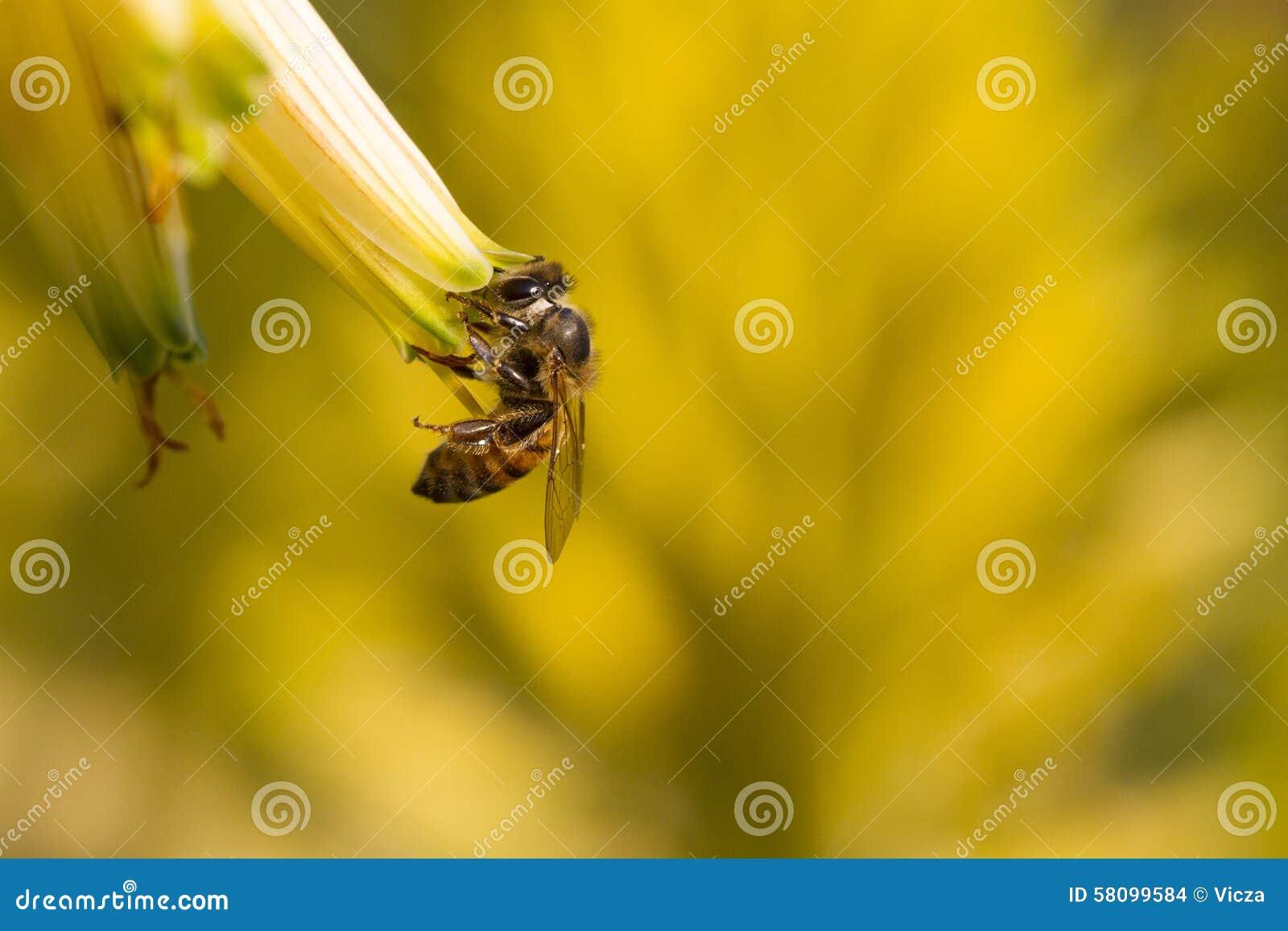 Μέλισσα και λουλούδι