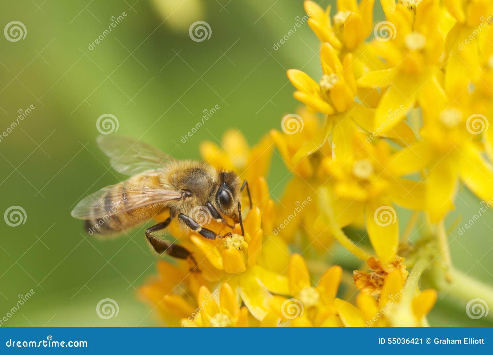 Μέλισσα σε κίτρινο