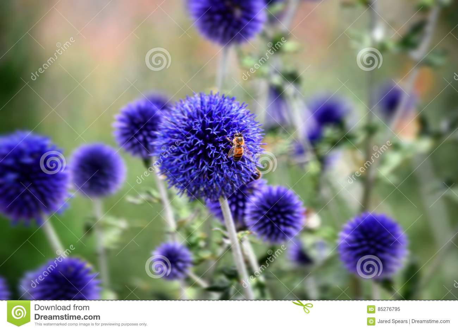 Μέλισσα στο πορφυρό λουλούδι